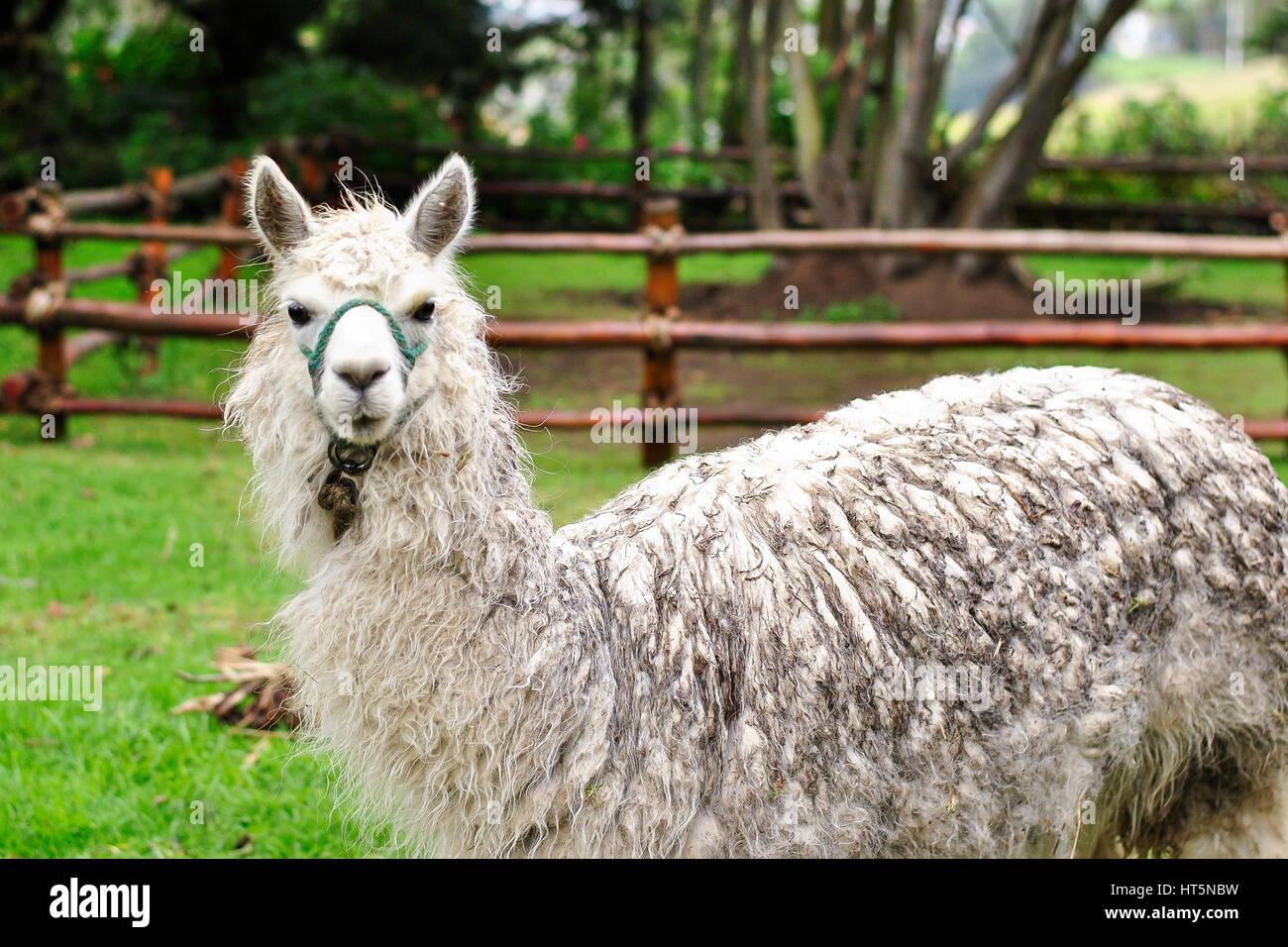 Llama (lama glama) in a garden.  El Tambo.  Ingapirca.  Ecuador - Stock Image