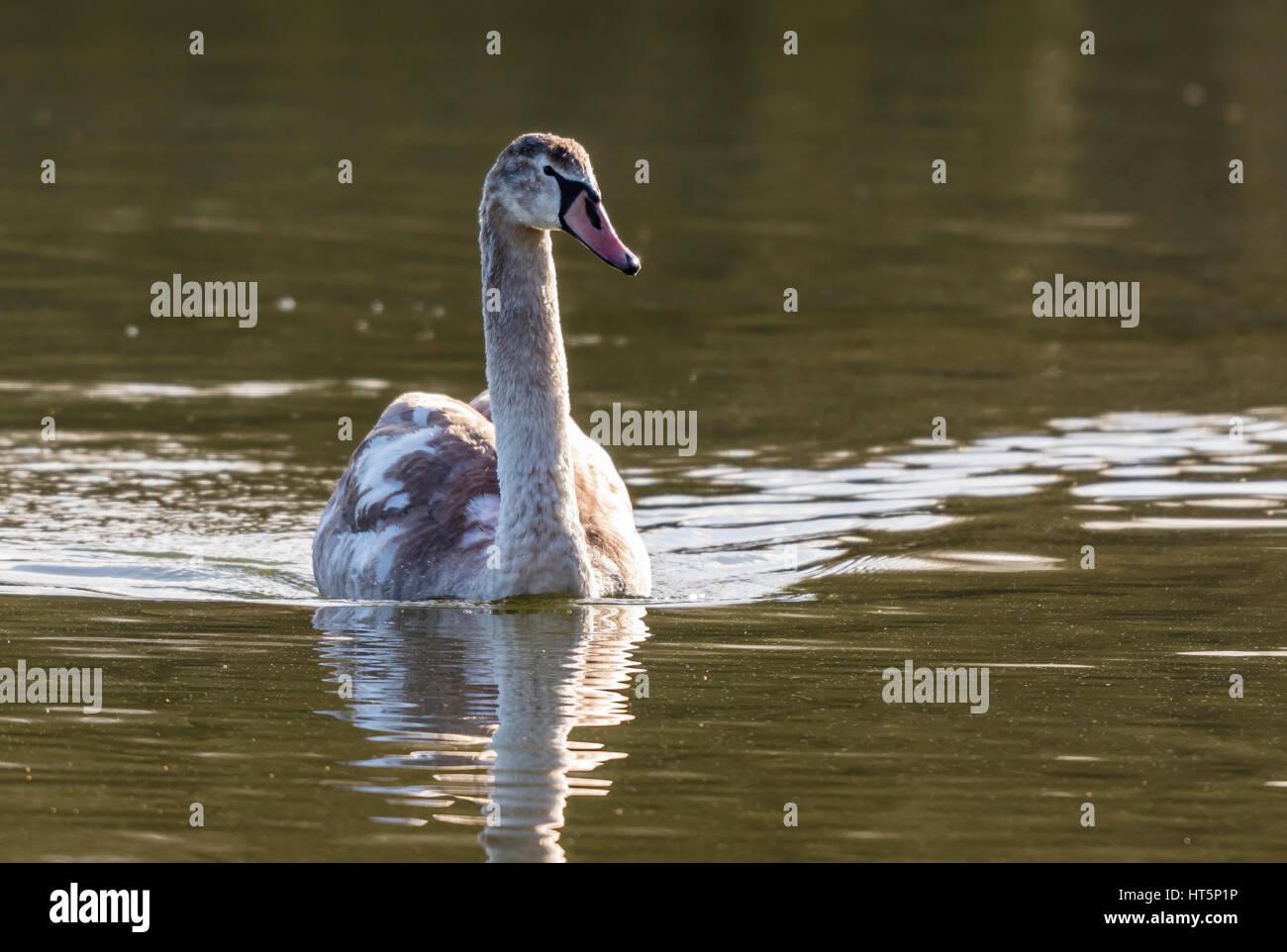 Mute Swan at Aldenham Country Park, Elstree, UK - Stock Image