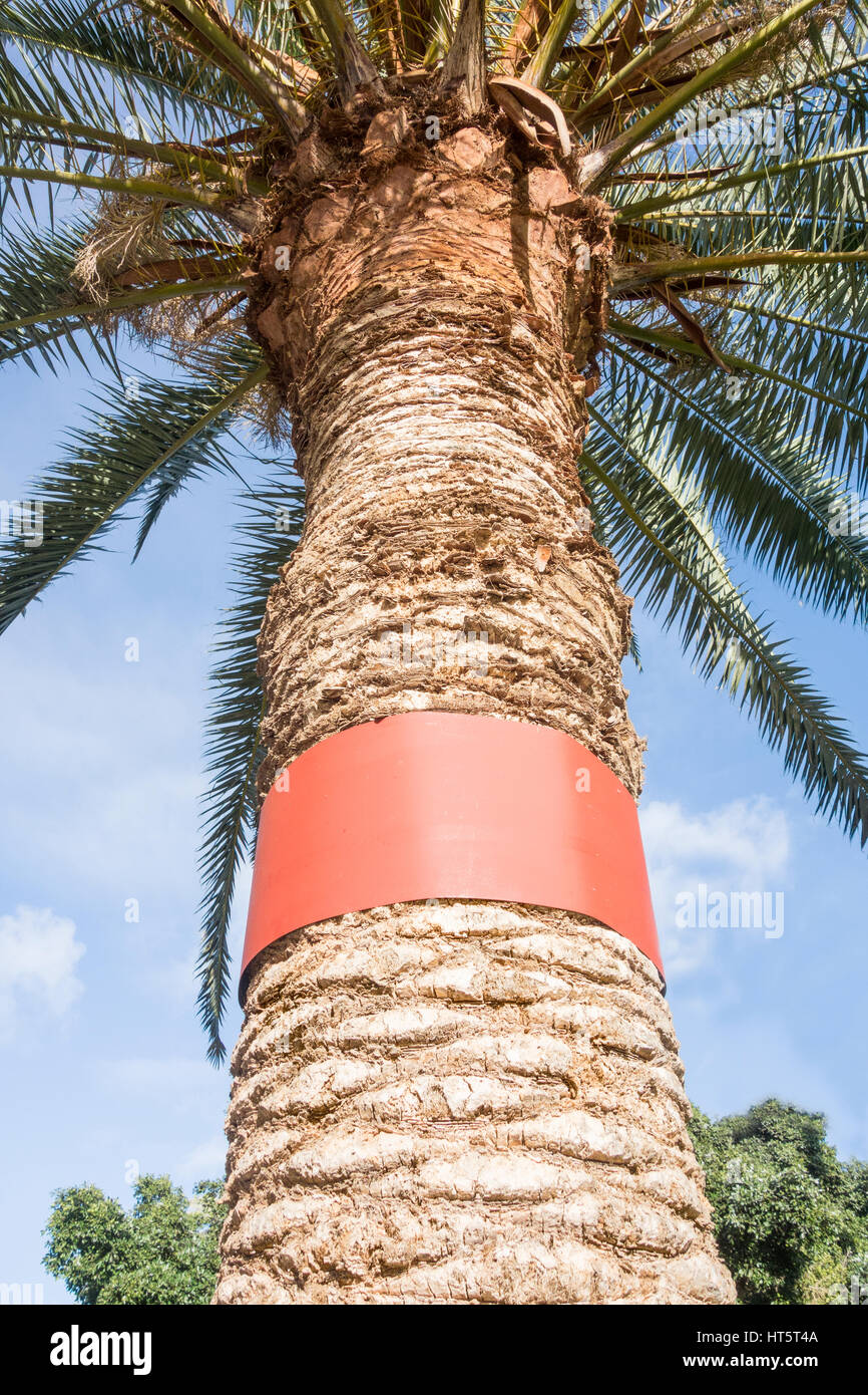 Metal band around trunk of palm tree to prevent rats climbing and