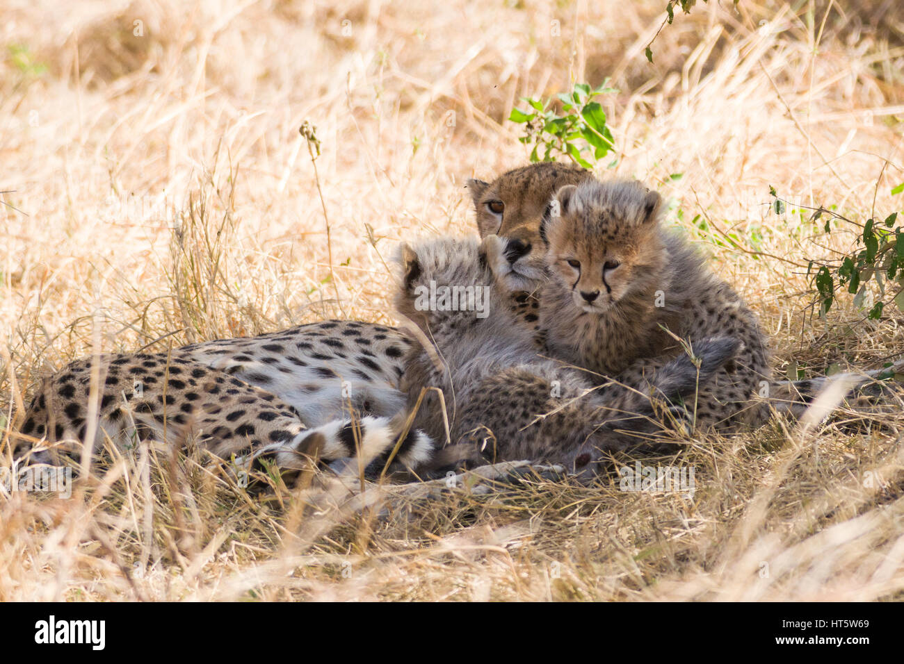 Female cheetah resting in dry grass with baby cubs (Acinonyx jubatus), Maasai Mara National Reserve, Kenya, East - Stock Image