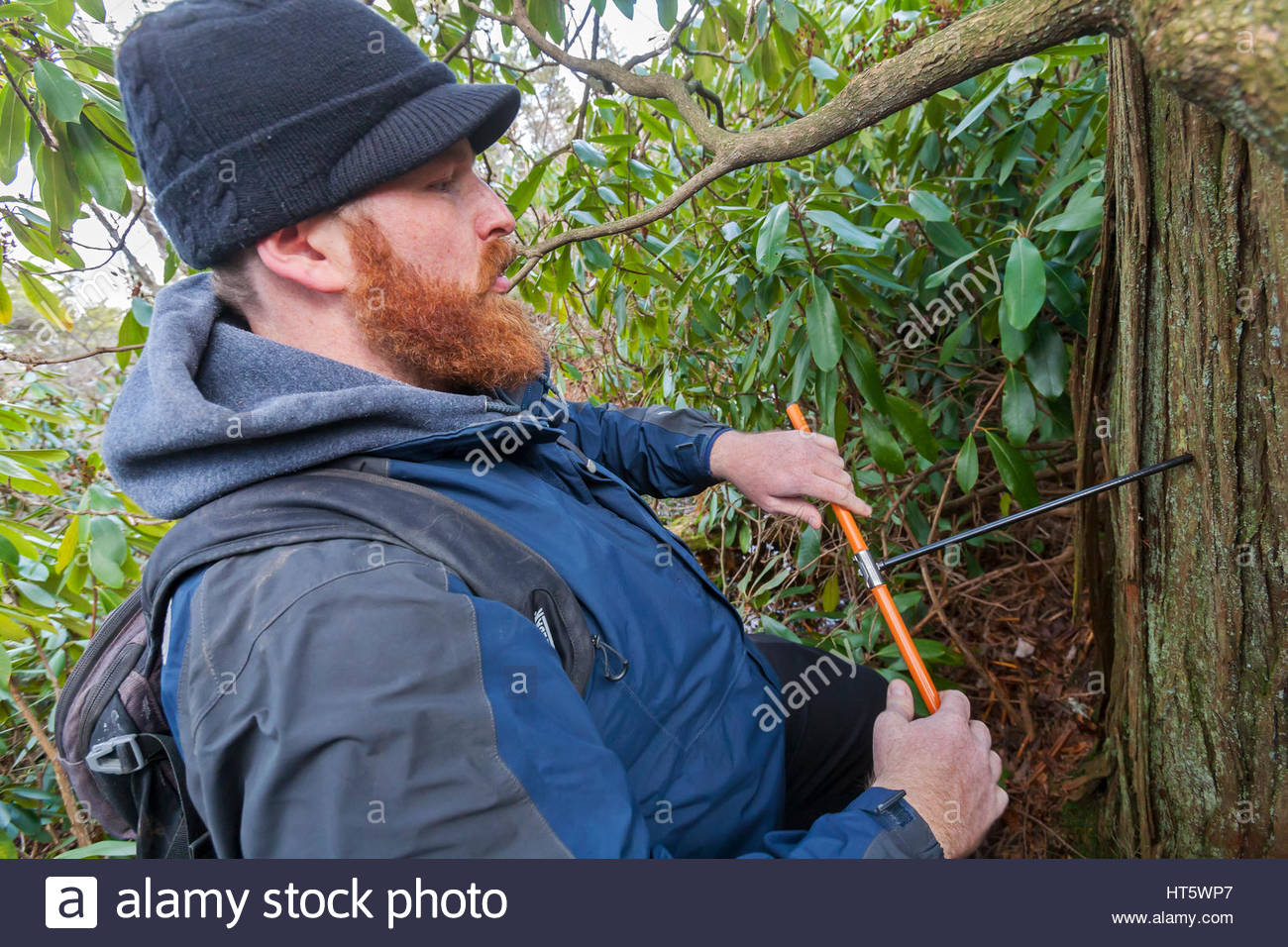 Tree Coring by young scientist. - Stock Image