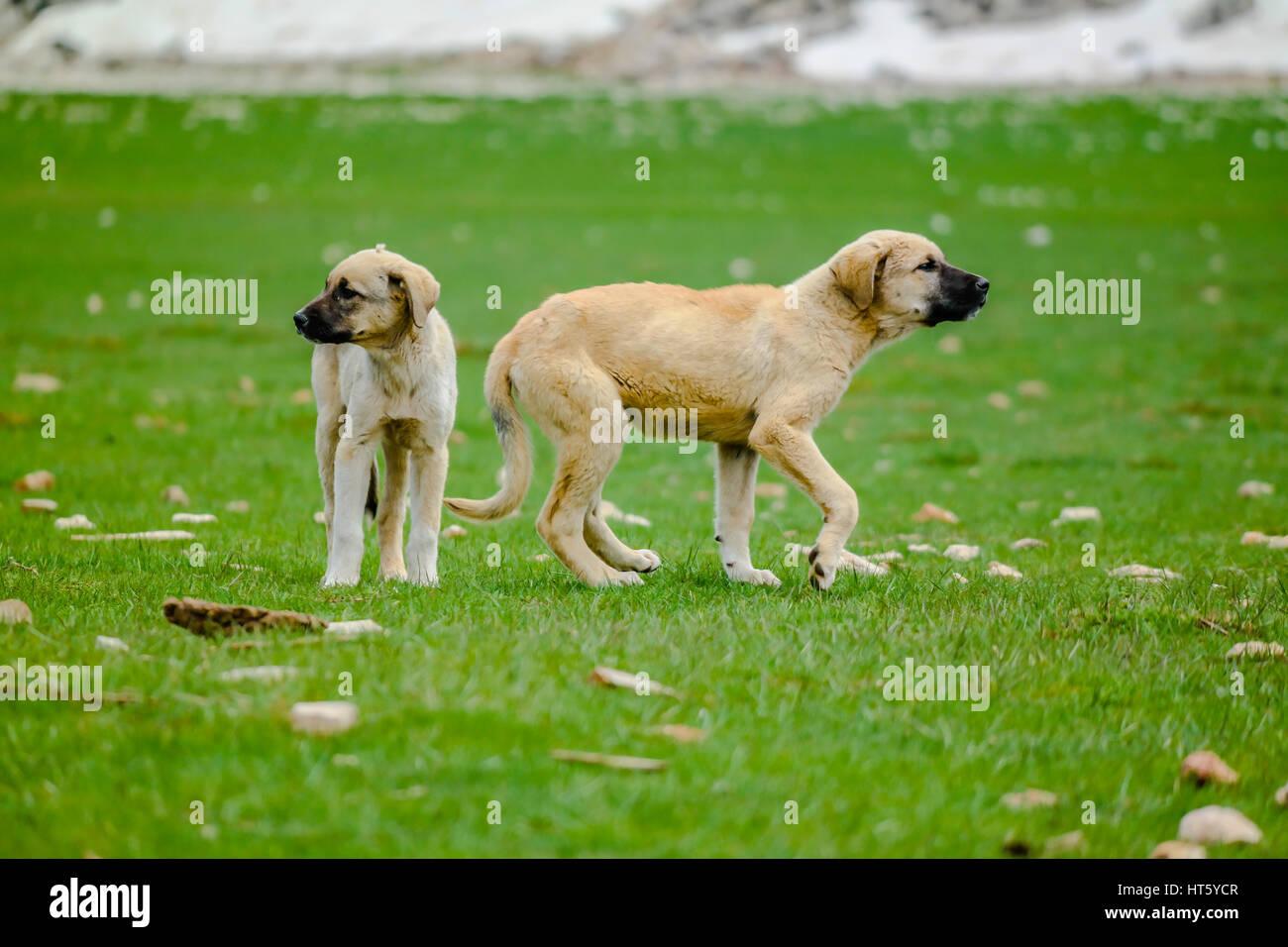 puppy kangal dogs anatolian sheperd - Stock Image
