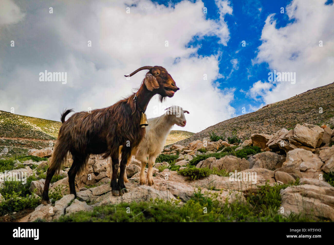 billy goat and nanny goat posing calling the herd - Stock Image