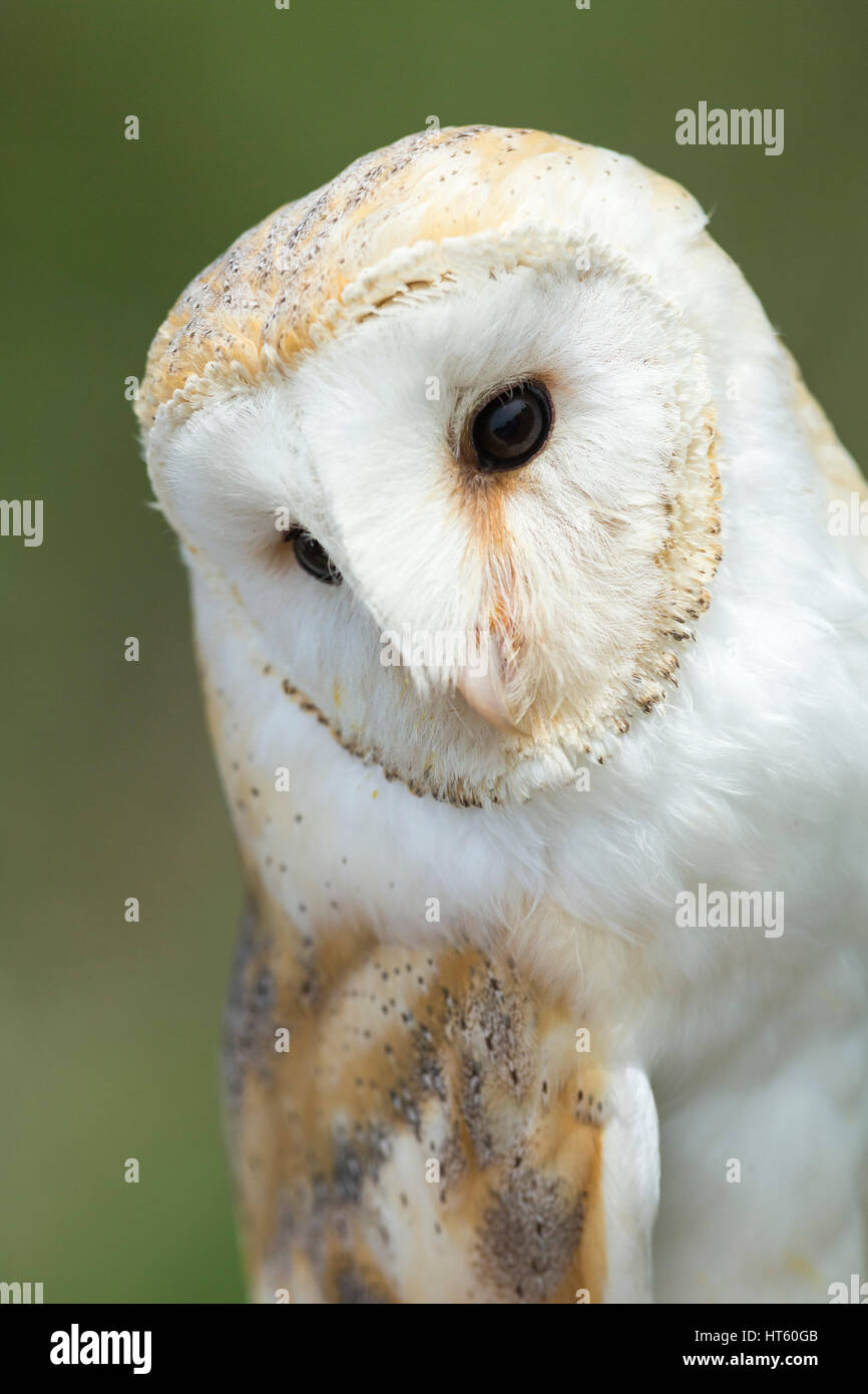 Barn owl Tyto alba (captive), adult female, portrait, Hawk Conservancy Trust, Hampshire, UK in May. - Stock Image