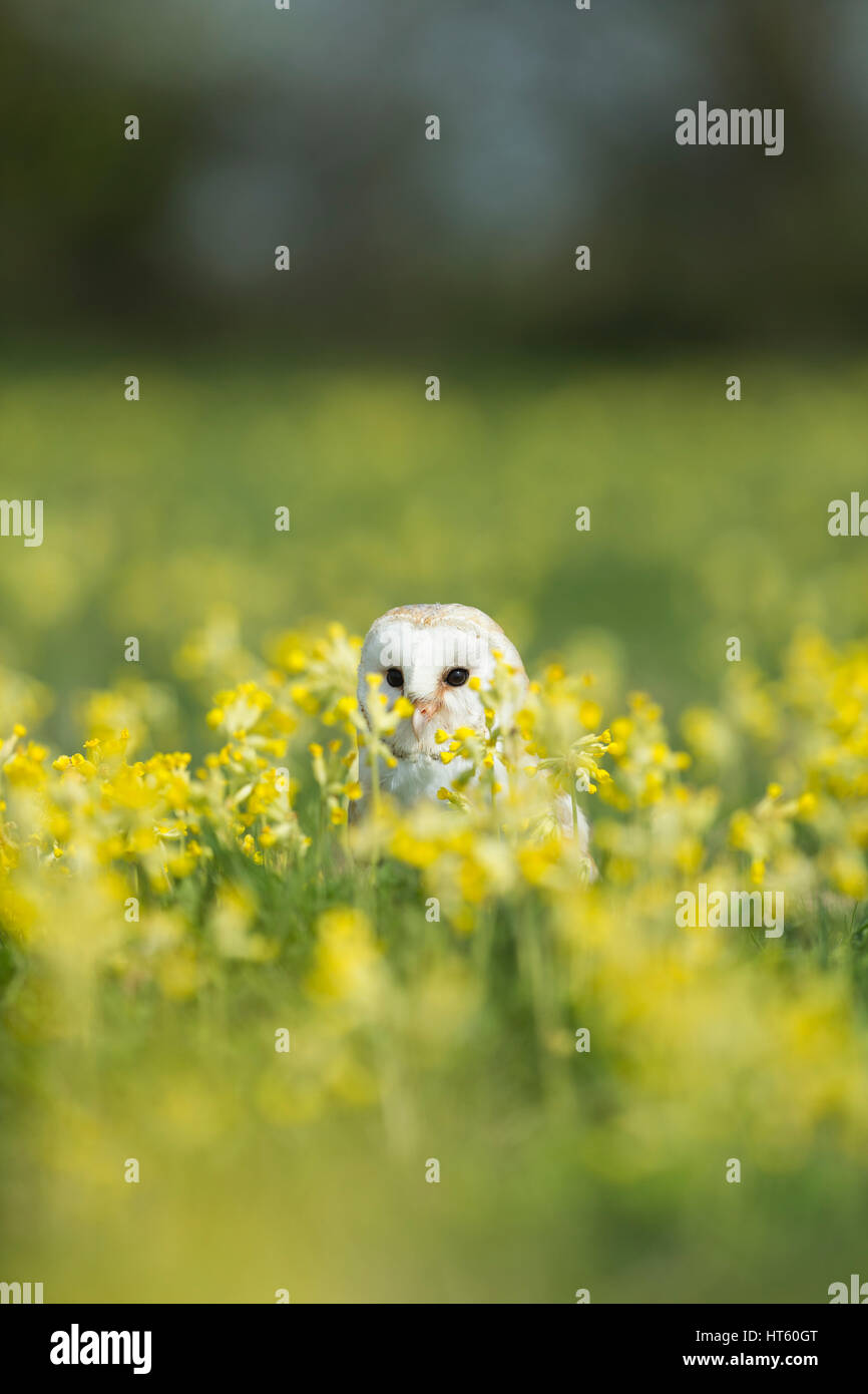 Barn owl Tyto alba (captive), adult female, amongst Cowslips, Hawk Conservancy Trust, Hampshire, UK in May. - Stock Image