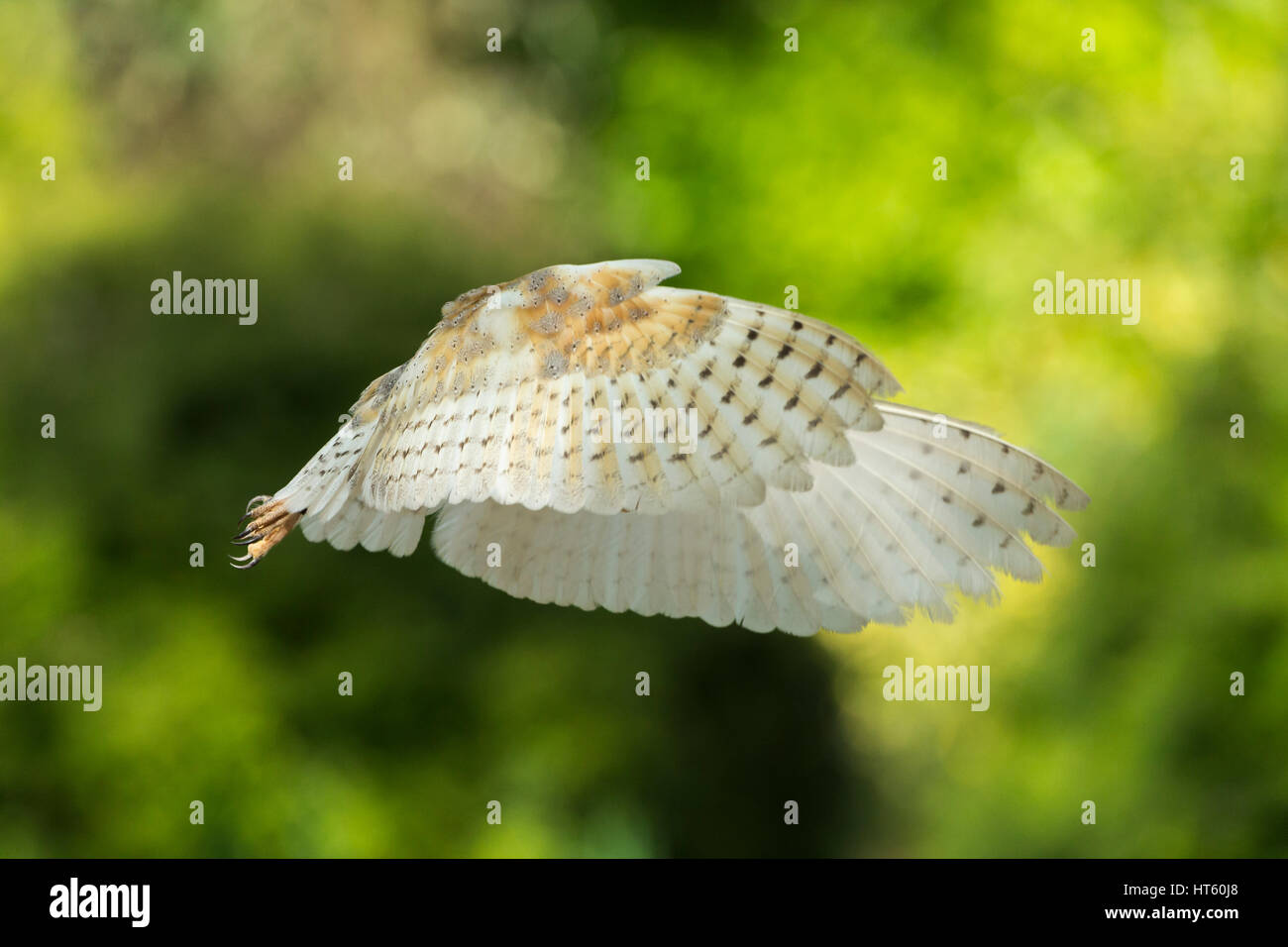 Barn owl Tyto alba (captive), adult female, in flight & hovering, Hawk Conservancy Trust, Hampshire, UK in May. - Stock Image