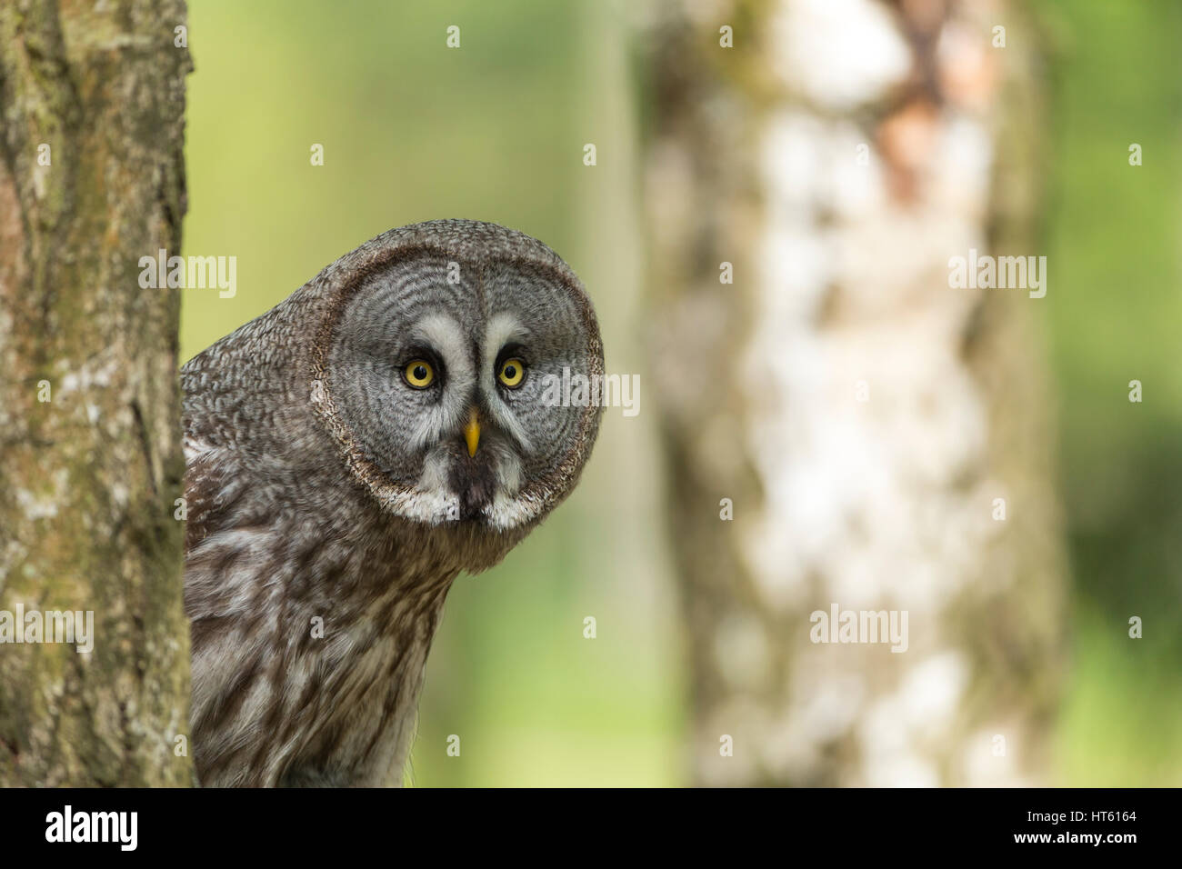 Great grey owl Strix nebulosa (captive), adult female, perched on branch, Hawk Conservancy Trust, Hampshire, UK - Stock Image