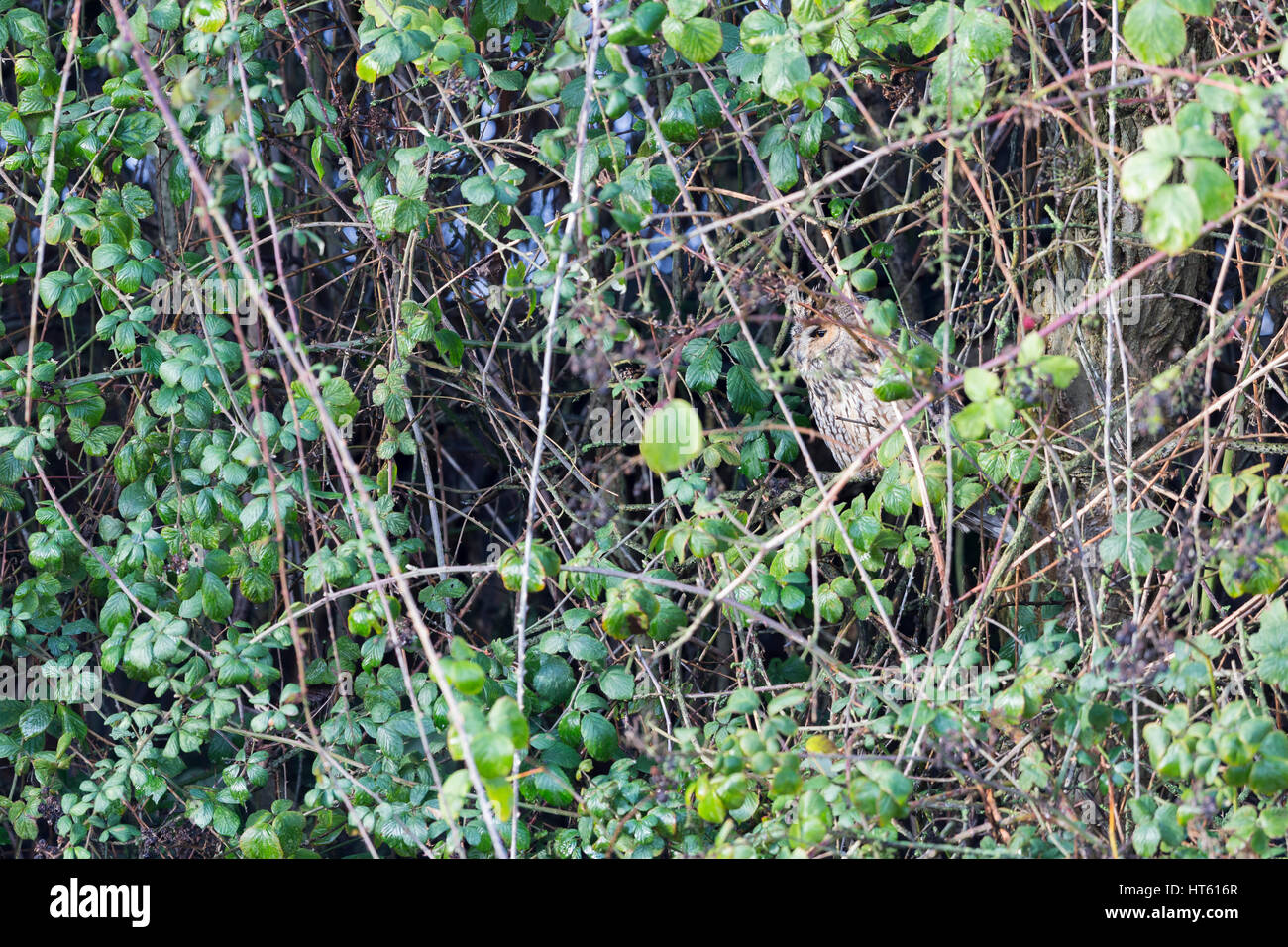 Long-eared owl Asio otus, adult, roosting in dense bramble thicket, Inner Marsh Farm, Cheshire, UK in January. - Stock Image