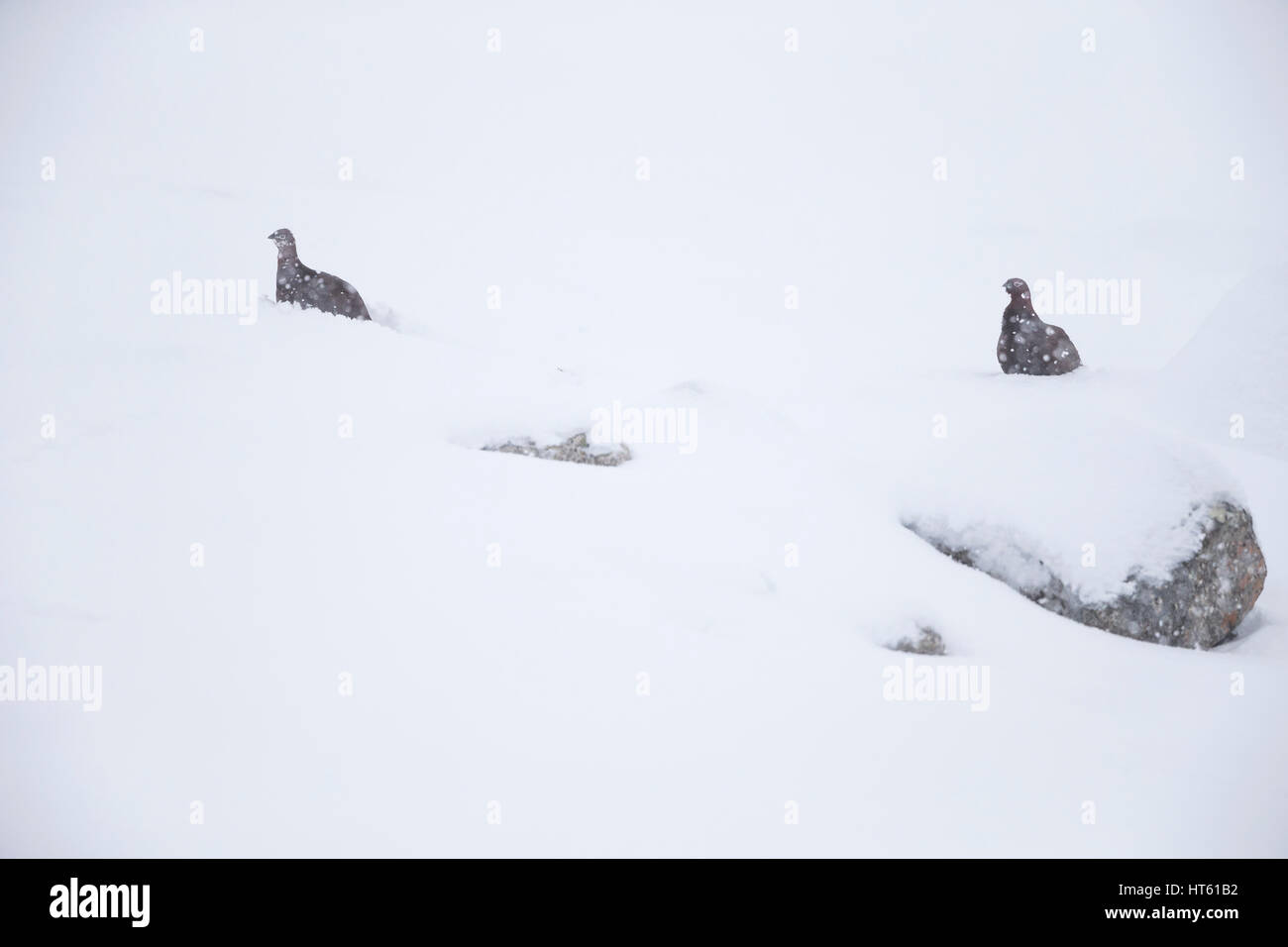 Red grouse Lagopus lagopus scotica, pair, buried in the snow, Strathdearn, Highlands, UK in February. - Stock Image