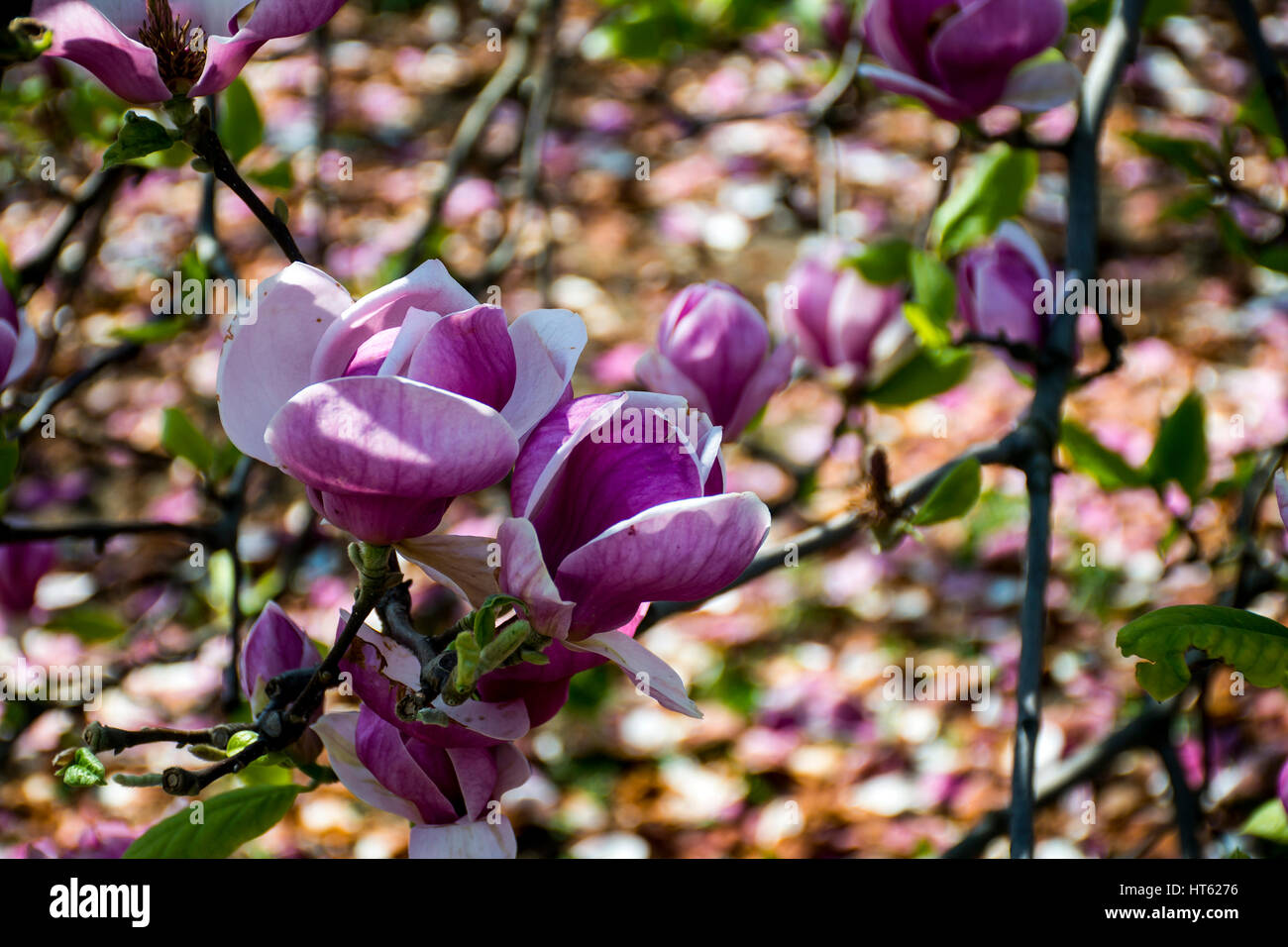 Bloomy Magnolia Tree With Big Pink Flowers Blossom Stock Photo
