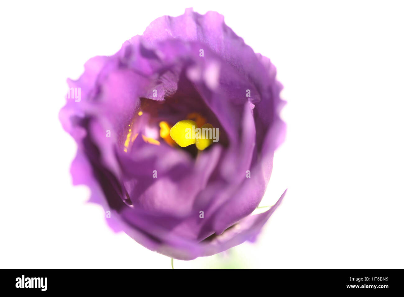 powerful lisianthus flower - concept protect Jane Ann Butler Photography  JABP1873 - Stock Image