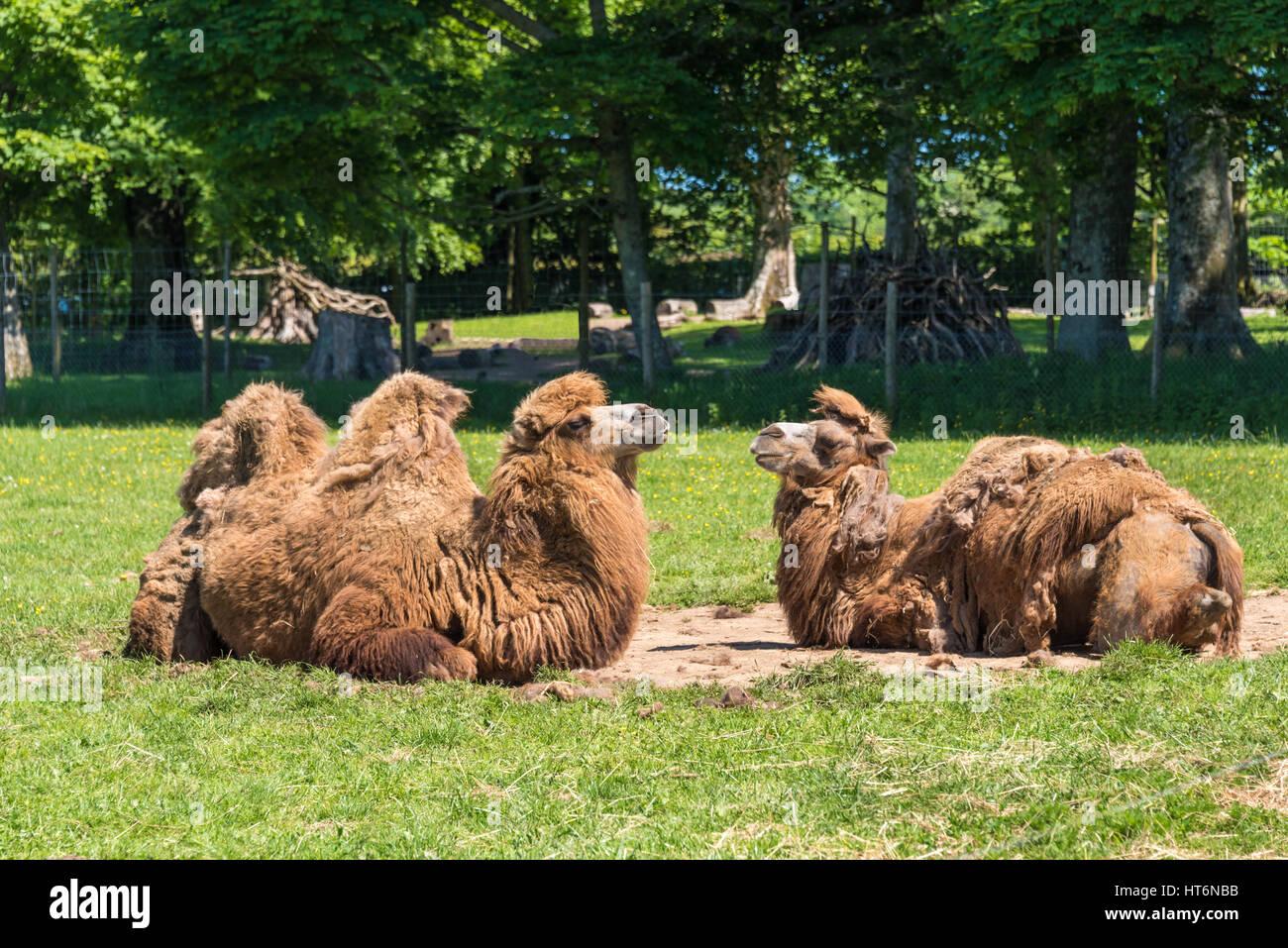 2 Humped Camel Stock Photos Images