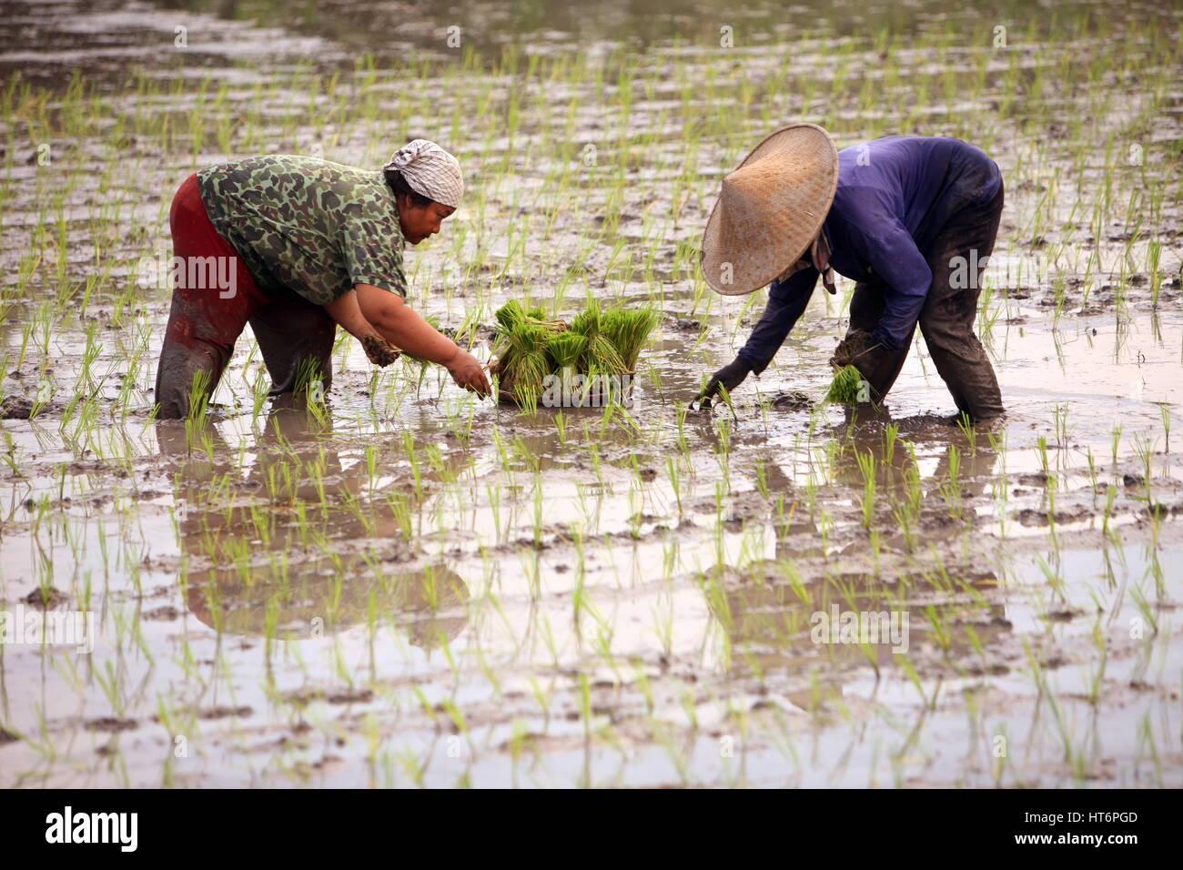Asien, Suedost, Indonesien, Bali, Insel, Zentral Bali, Tegalalang, Reisterrassen, Arbeit, Work, Wirtschaft, Landwirtschaft, - Stock Image