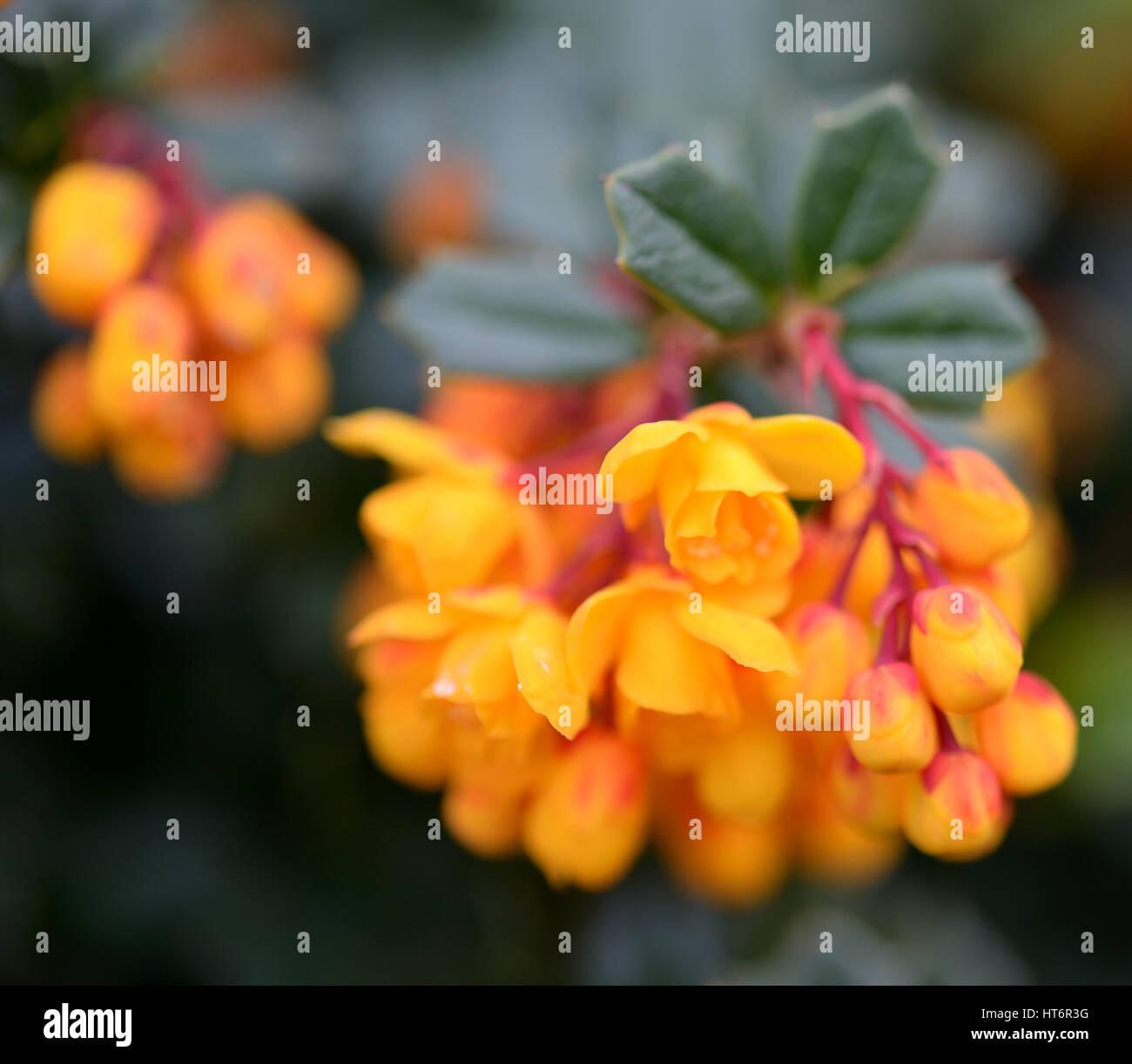 Clusters Of Orange Yellow Berberis Flowers On Dark Green Spiky