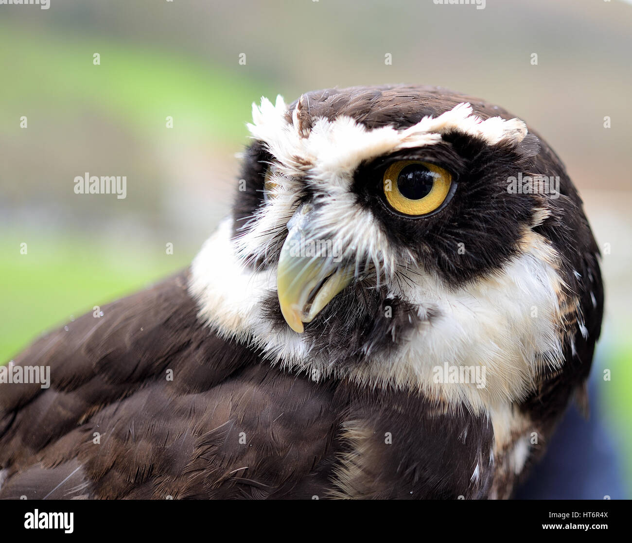 Spectacle owl portrait - Stock Image