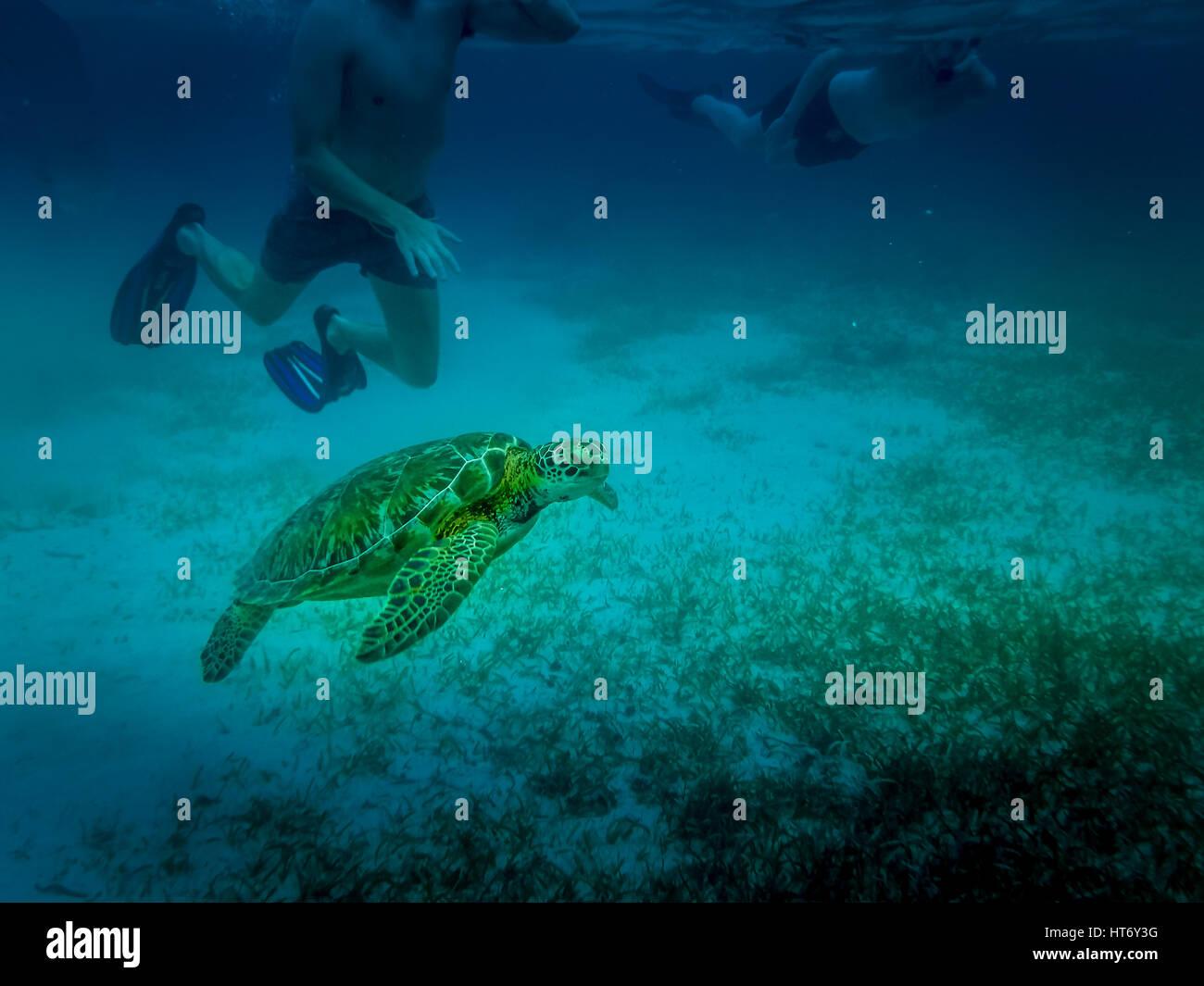 Sea turtle in caribbean sea - Caye Caulker, Belize - Stock Image