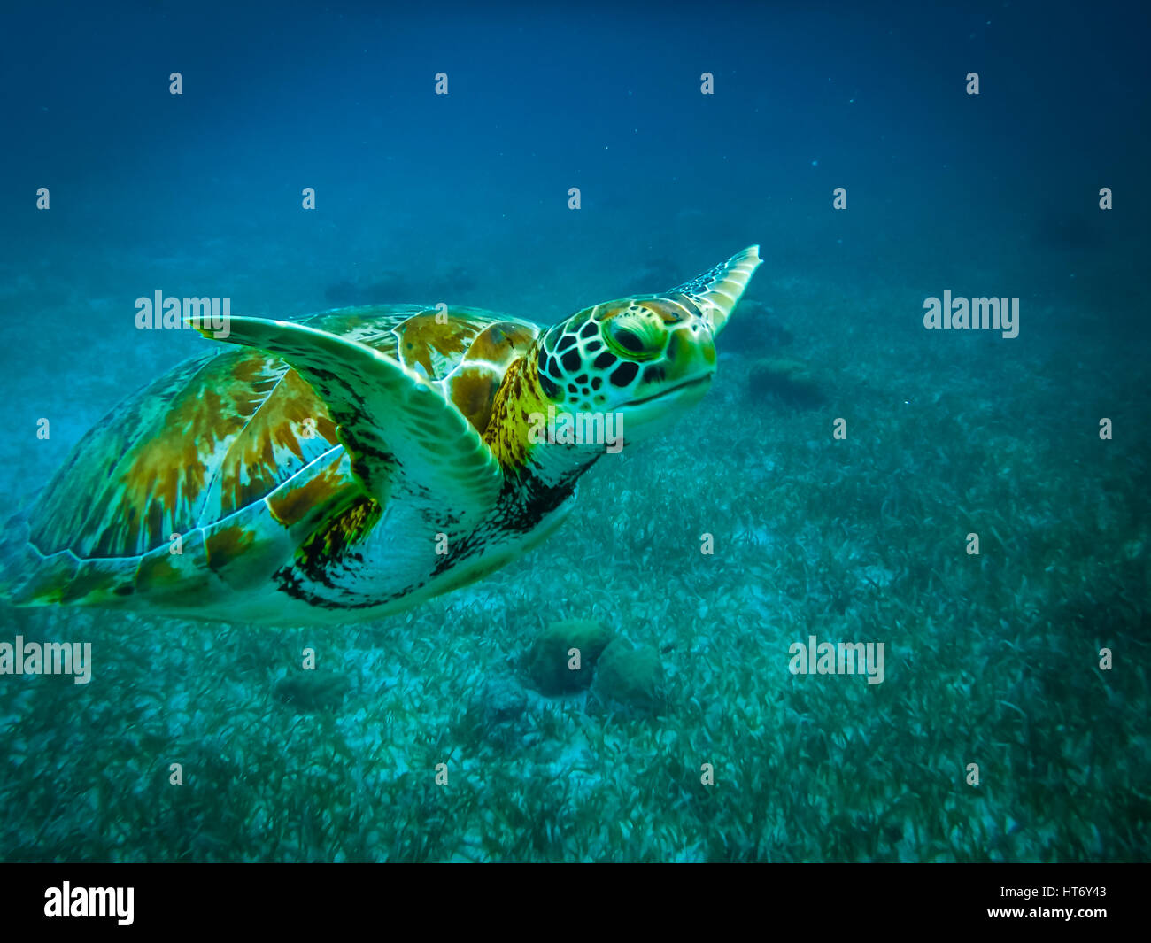 Sea turtle in caribbean sea - Caye Caulker, Belize - Stock Image