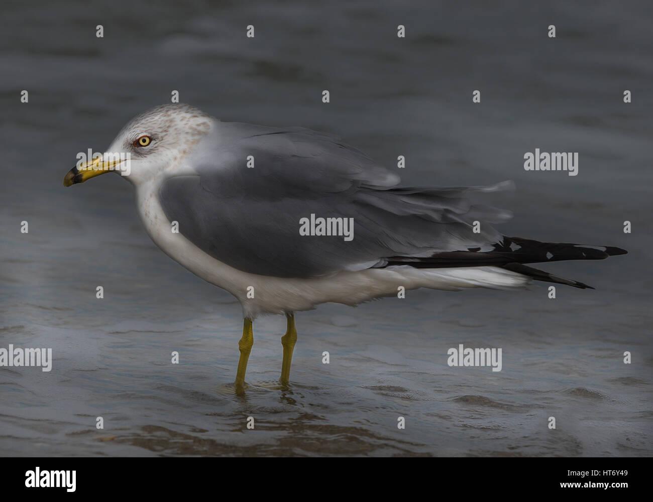 Grumpy Seagull Portrait - Stock Image