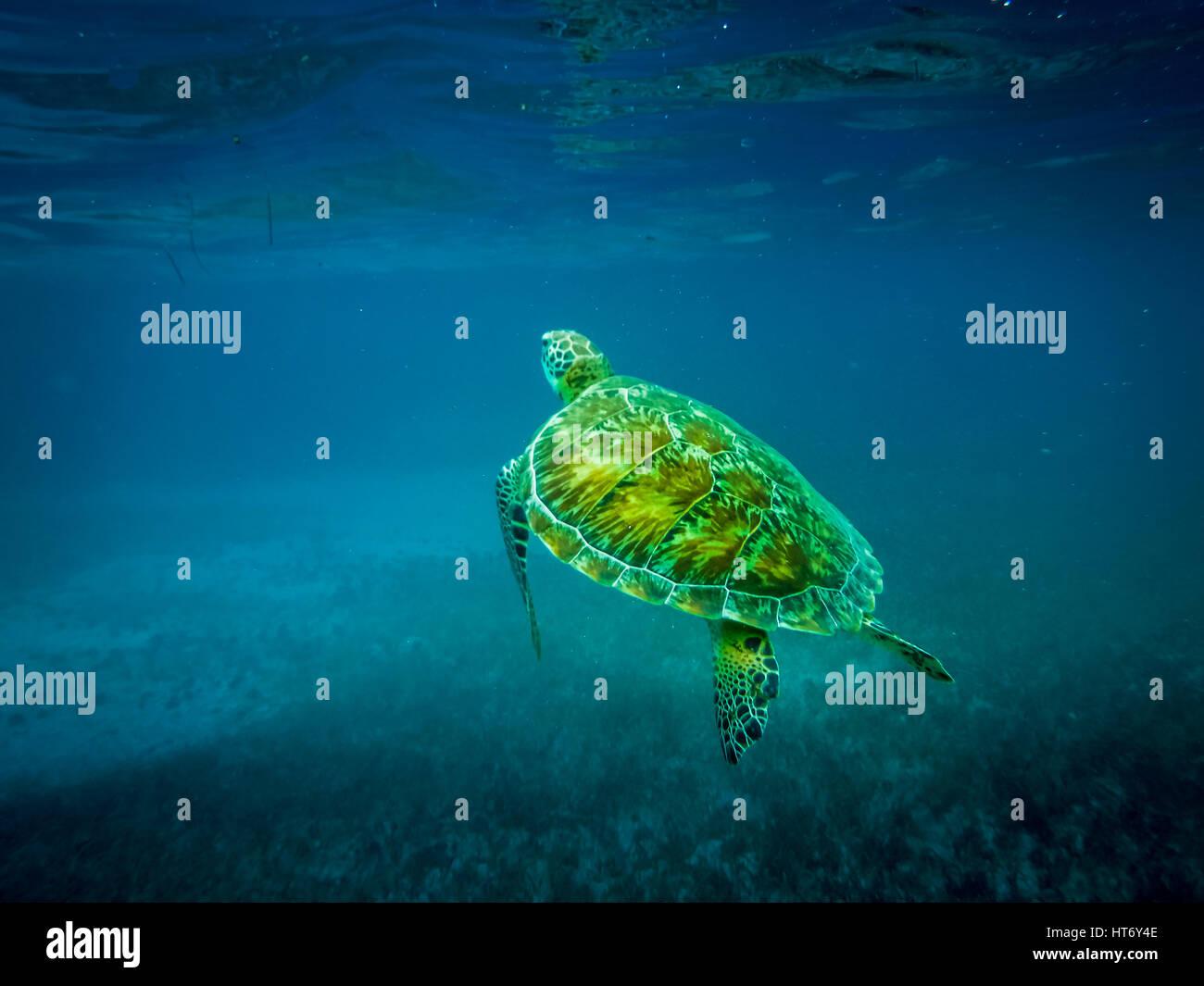 Sea turtle in caribbean sea - Caye Caulker, Belize Stock Photo