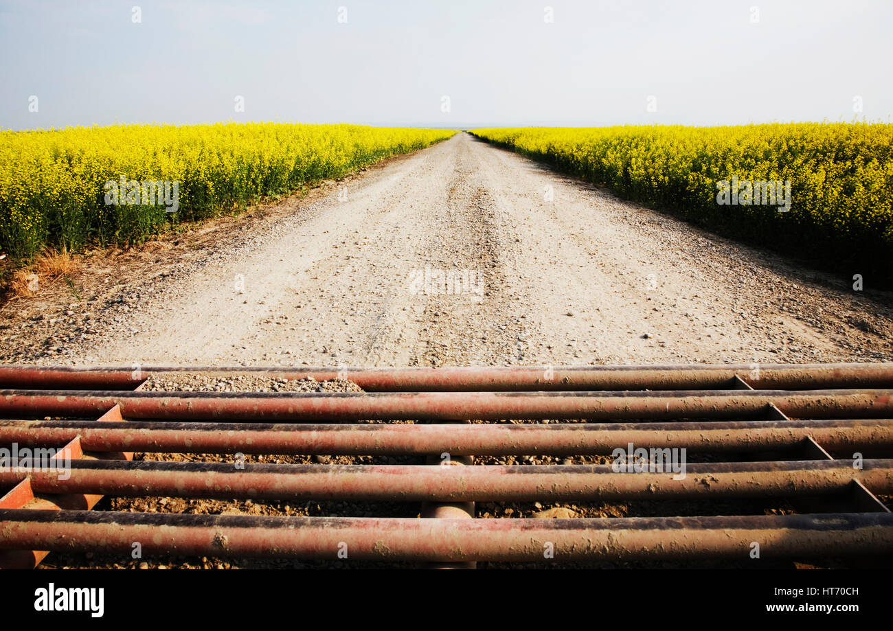 Surrounded By Canoloa Feilds Quotes: Texas Gate And Gravel Road Surrounded By Canola Fields