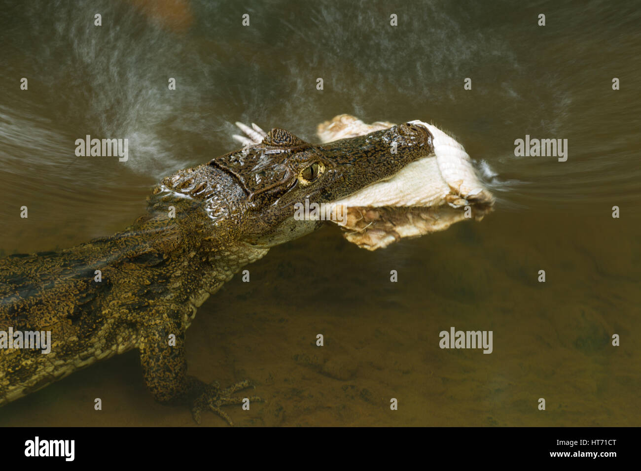 Spectacled Caiman, Caiman crocodilus, with a half-eaten armadillo carcass in a stream in the Selva Verde Reserve - Stock Image