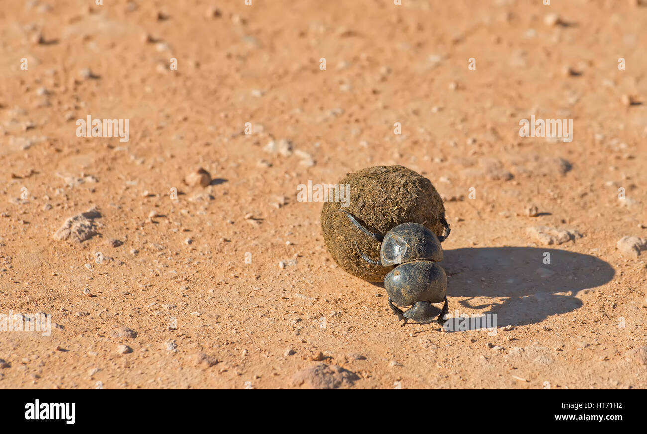 Dung beetle moving dungStock Photo