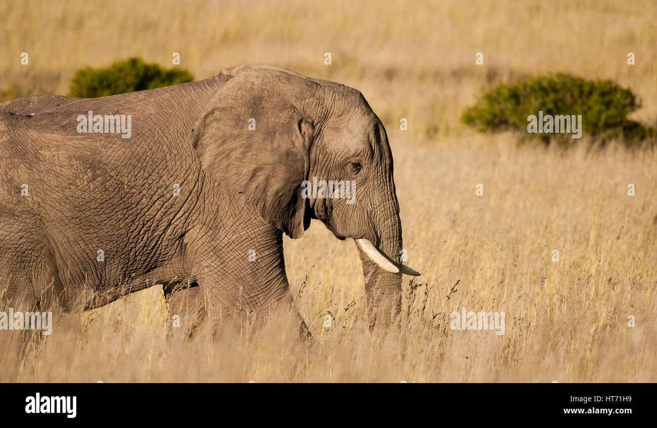 Elephant walking through plainsStock Photo