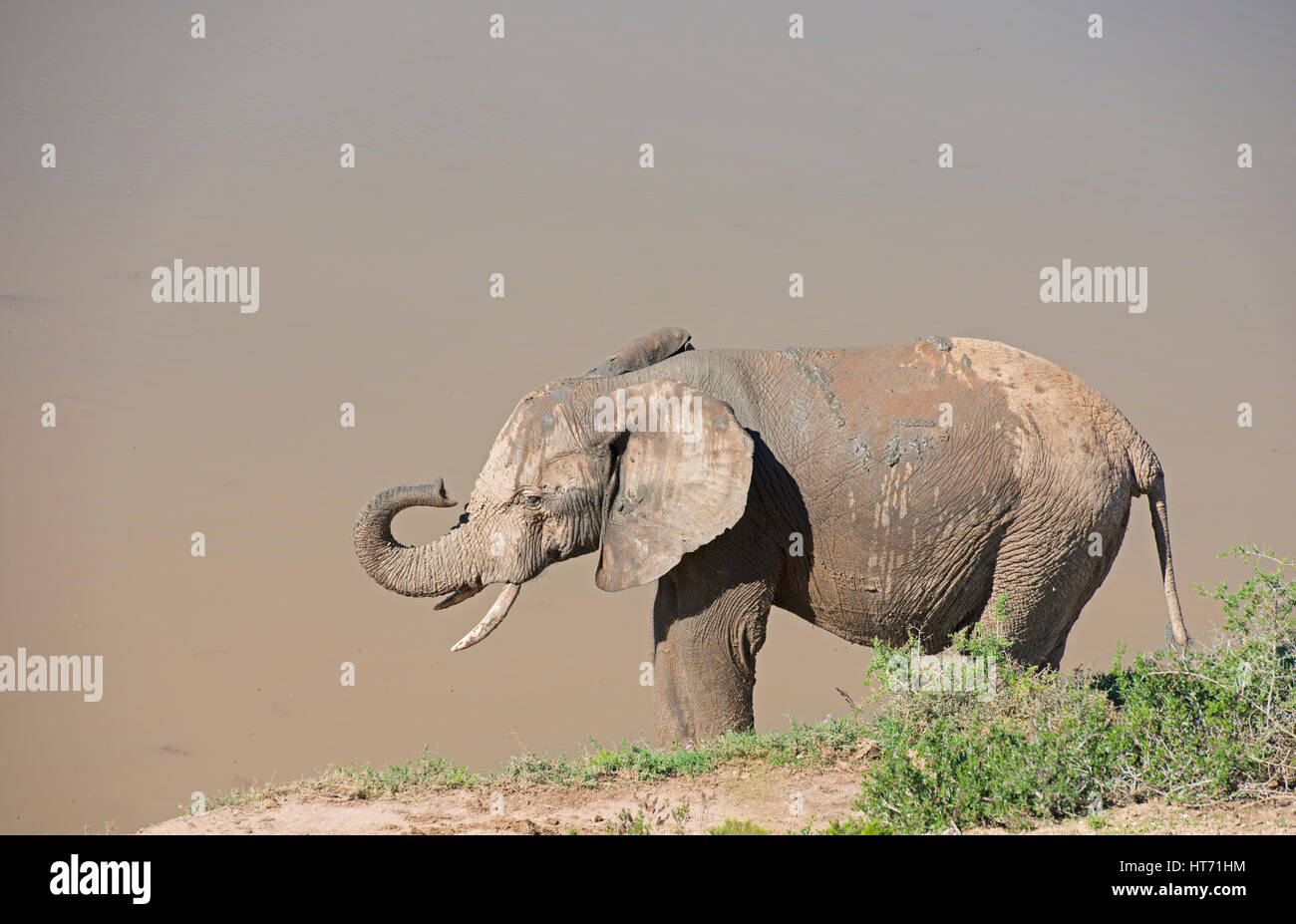 Elephant with mud lifting trunkStock Photo