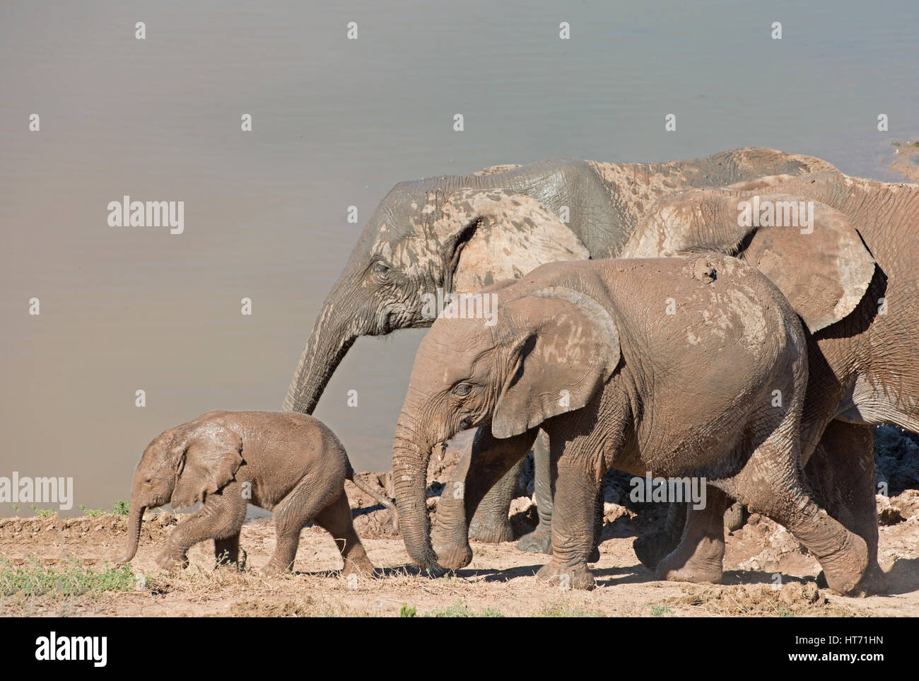 Elephant herd with mud walking with baby Stock Photo