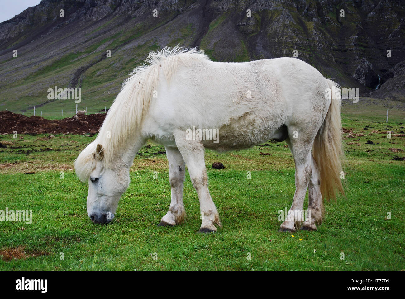 Iceland's special breed horse - white sturdy stallion eating grass on a rural countryside landscape - Stock Image