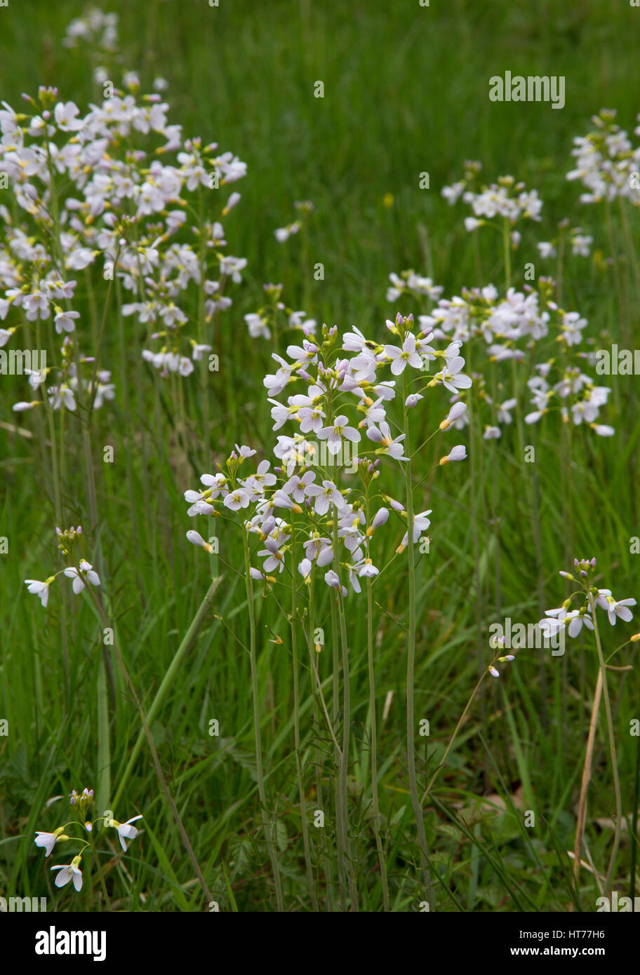 Cuckoo Flower or Lady's Smock, Cardamine pratensis, growing in field. Worcestershire, UK Stock Photo