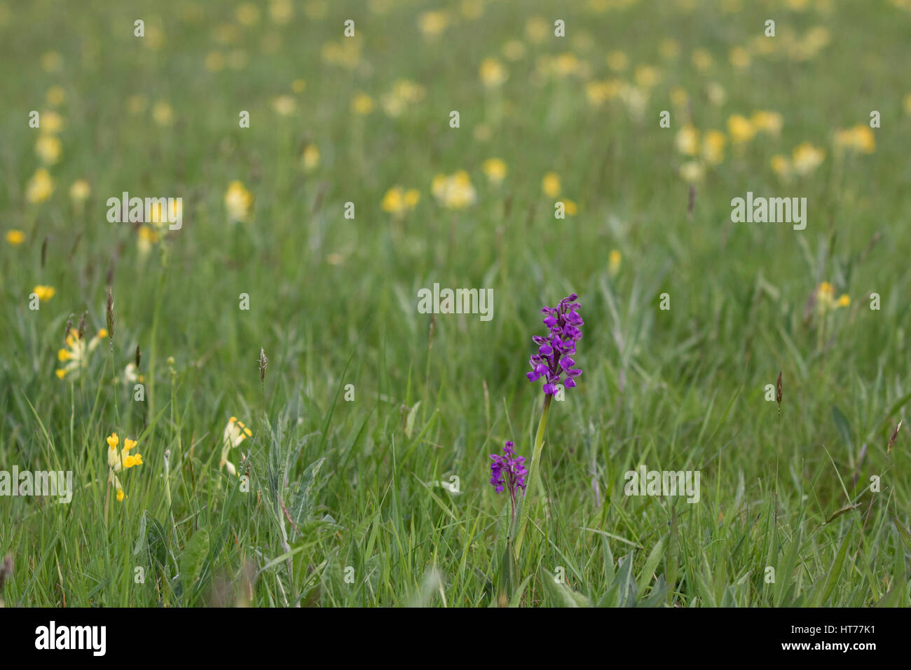 Green-winged Orchid, Anacamptis morio, single plant growing in field of Cowslips, Primula veris. Worcestershire, Stock Photo