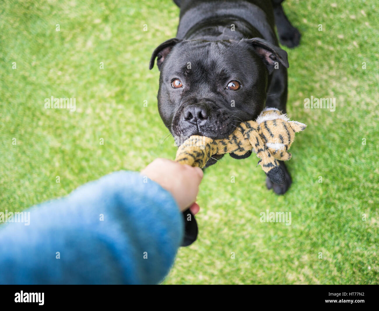 A black staffordshire bull terrier dog playing tug, holding a soft toy in his mouth, pulling with a human. The arm - Stock Image