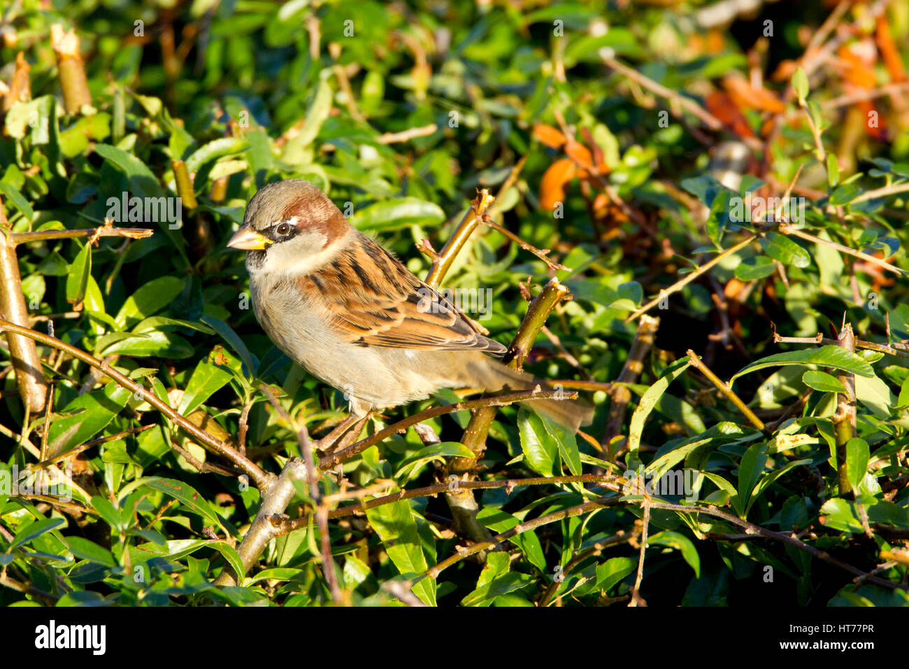 House Sparrow - Stock Image