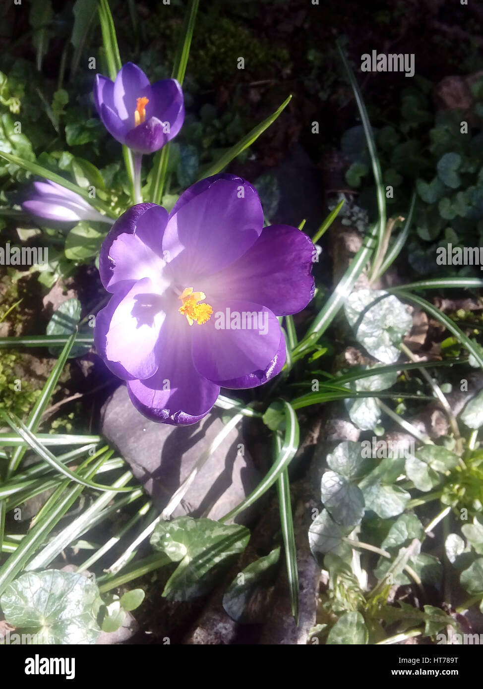 3906a76d06a33 Narcissus And Crocus Stock Photos   Narcissus And Crocus Stock ...