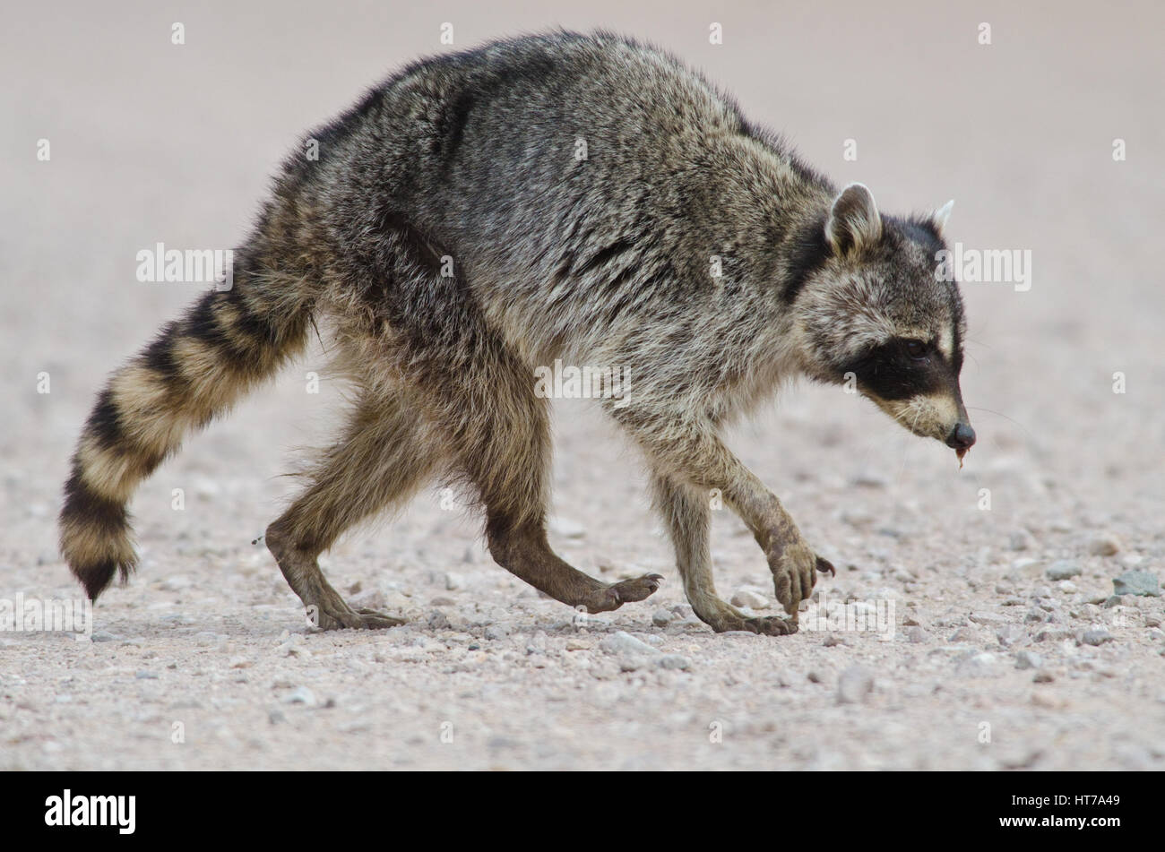 Sickly looking Raccoon at Bosque del Apache National Wildlife Refuge, New Mexico, USA. - Stock Image