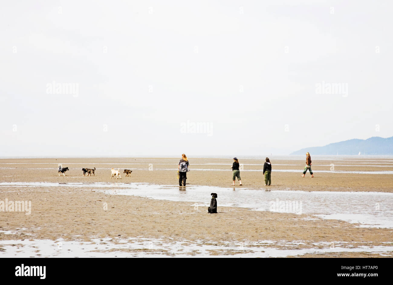 Puppy watching other dogs and people. Vancouver, BC. Canada - Stock Image