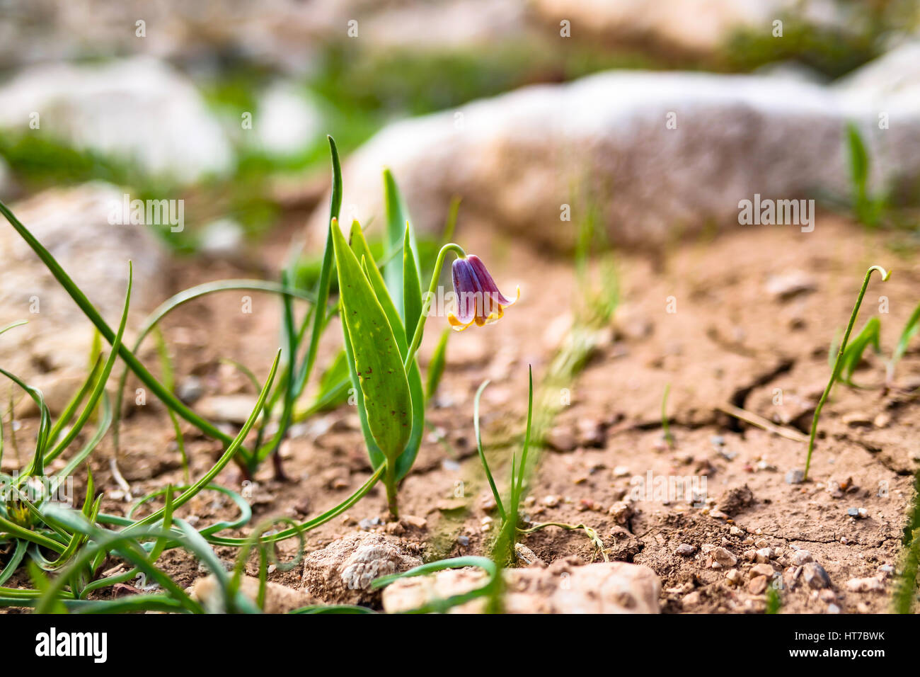 Fritillaria imperialis. ters lale. - Stock Image
