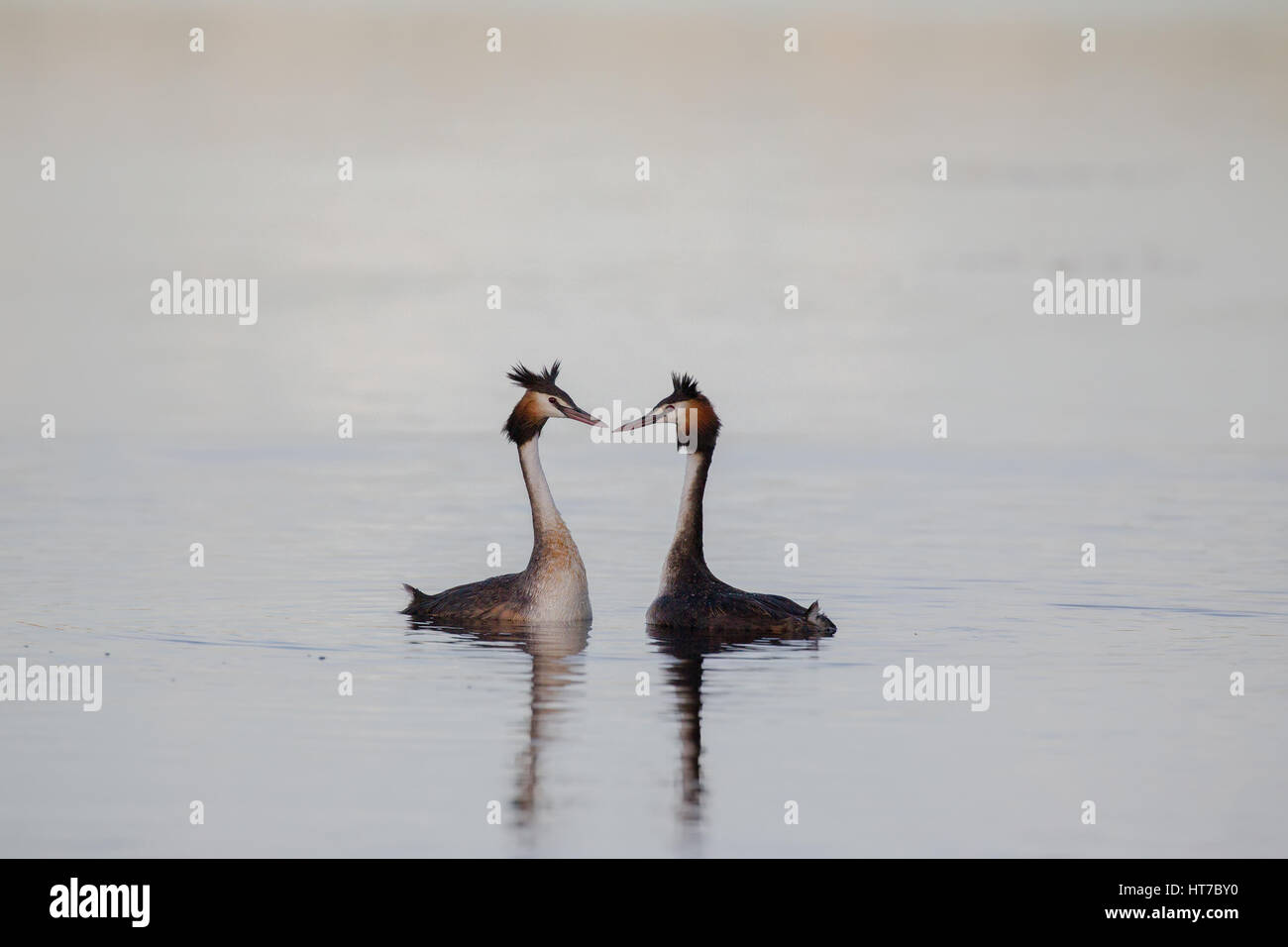 Great Crested Grebes CourtingStock Photo