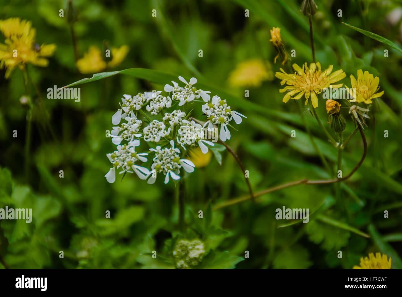 White Tiny Flowers In Naturemelek Otu Angel Flower Stock Photo