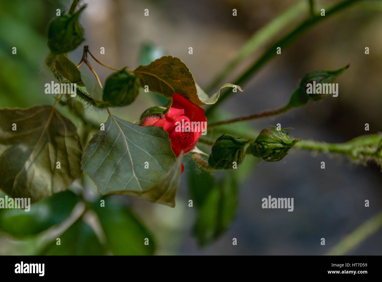 perfect red rose close up behind the a big rose leaf - Stock Image