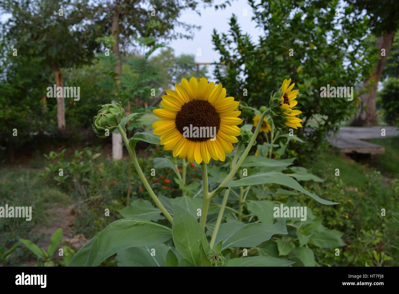 Sunflowersnflower watching younflowers in actions stock sunflower watching younflowers in actions beautiful flowers izmirmasajfo