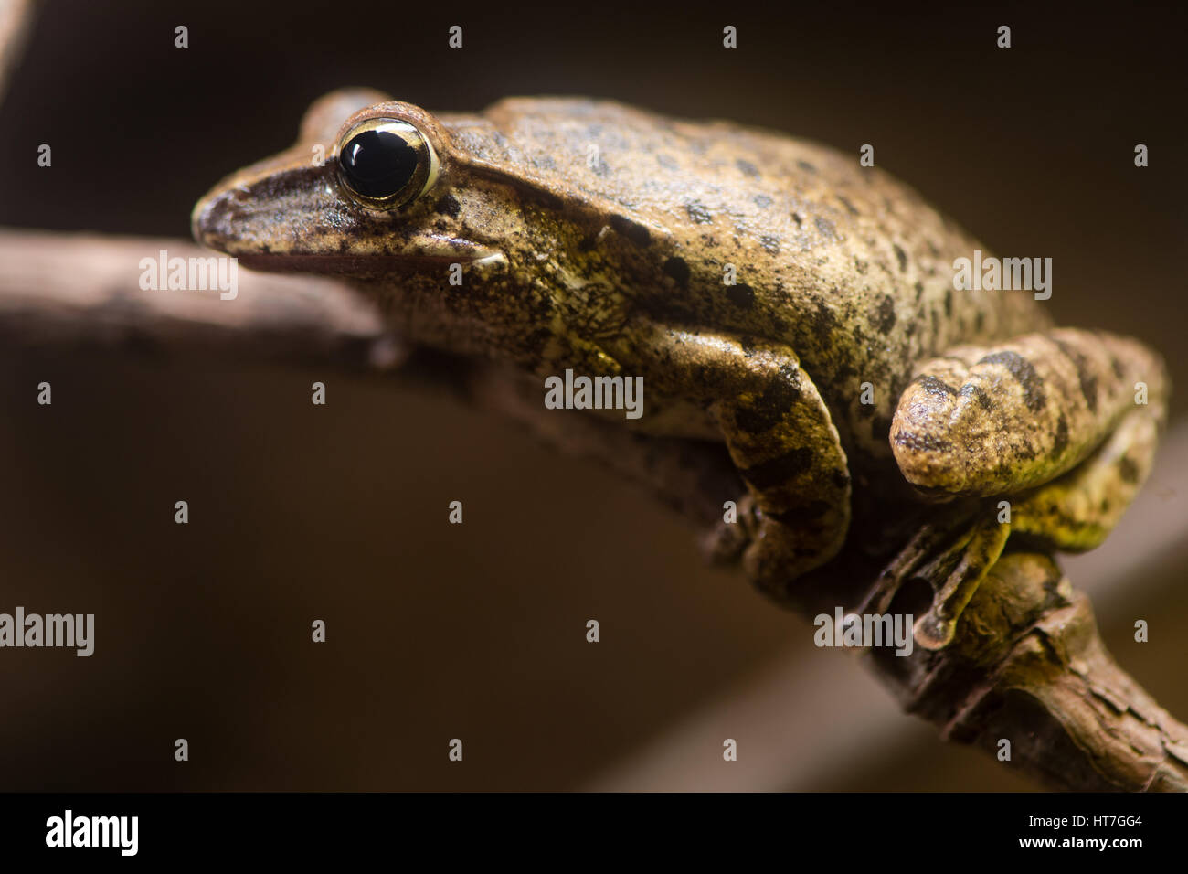 Golden tree frog (Polypedates leucomystax). Shrub frog family Rhacophoridae, aka common tree frog, four-lined tree Stock Photo