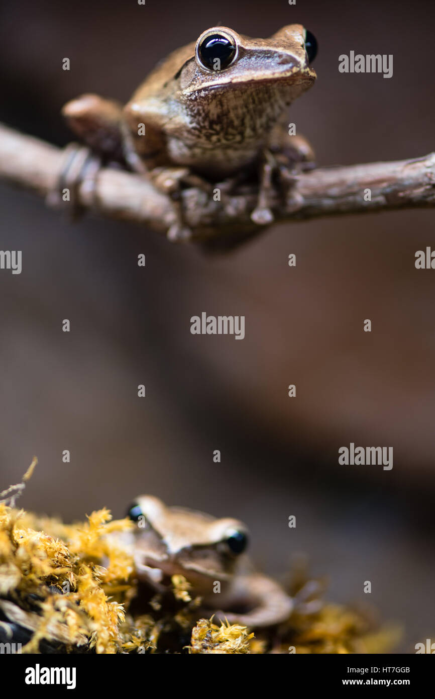 Golden tree frogs (Polypedates leucomystax). Shrub frogs family Rhacophoridae, aka common tree frog, four-lined - Stock Image