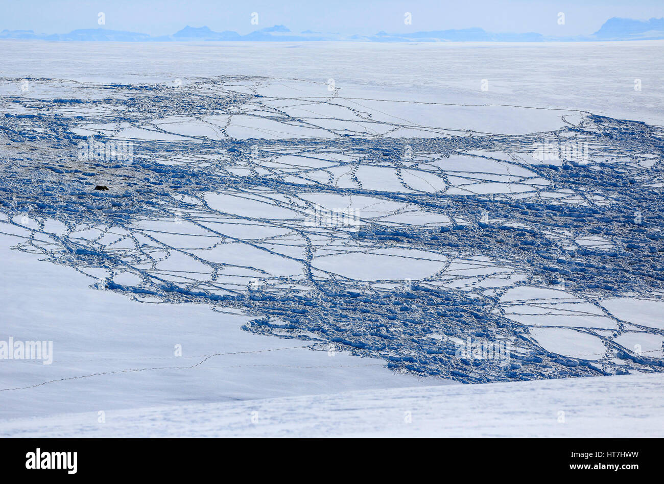 A Musk Ox And Snow Tracks Through A Fresh Snow On The Rolling Hills Of Jameson Land - Stock Image