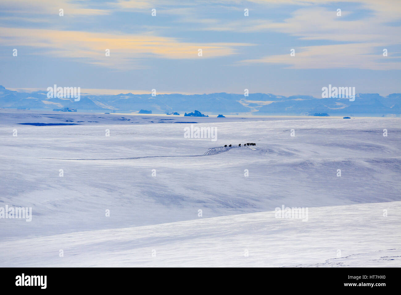 Distant View Of A Musk Ox And Snow Tracks On The Rolling Hills Of Jameson Land - Stock Image