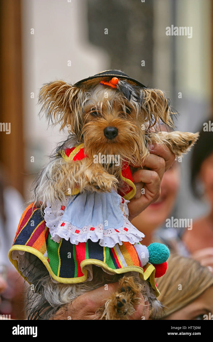 Close-up Of A Dog In A Traditional Attire During Corpus Christi Celebration In Spain - Stock Image