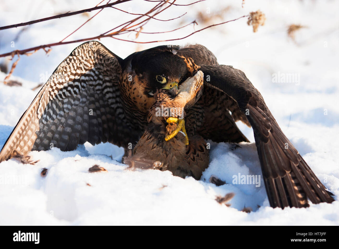 Close-up Of A Falcon With A Hunted Pheasant On Snow - Stock Image