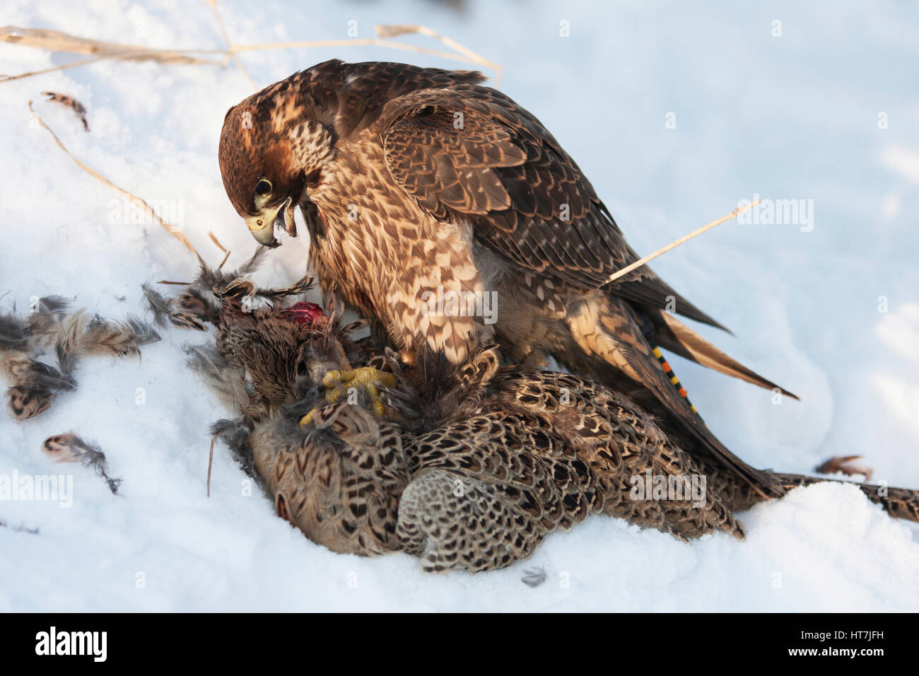 A Falcon With A Hunted Pheasant On Snow - Stock Image