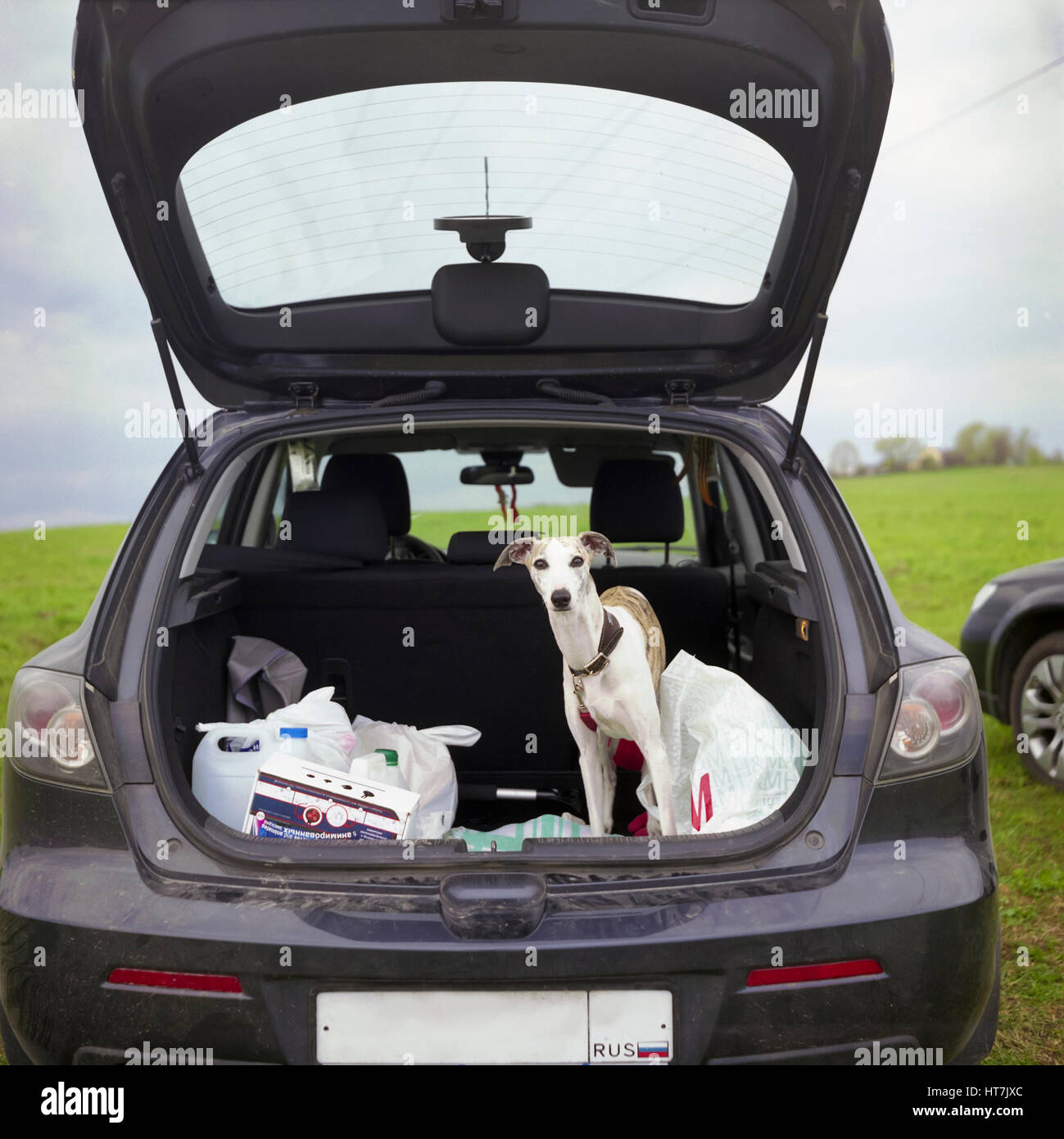 Dog Are Looking Out Of Car Boot - Stock Image